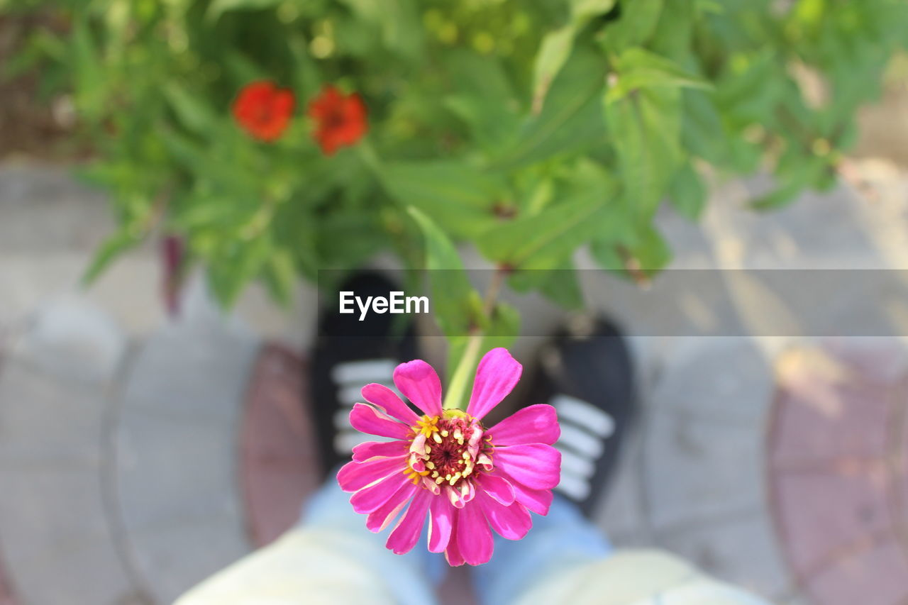flower, petal, pink color, nature, freshness, day, flower head, outdoors, beauty in nature, fragility, plant, growth, close-up, no people, zinnia