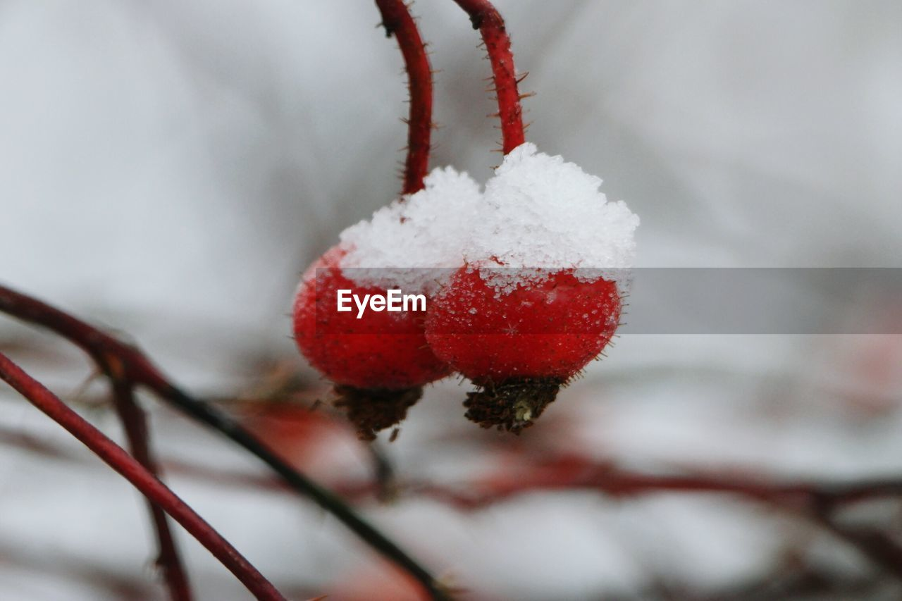 Close-Up Of Snow On Red Berry Fruits