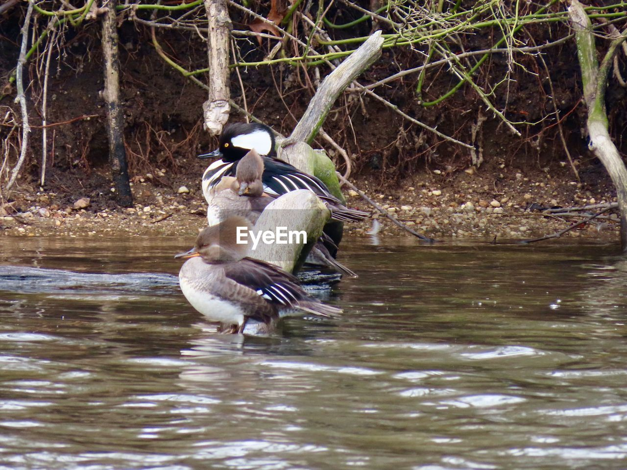 animal themes, animal, bird, animal wildlife, animals in the wild, vertebrate, one animal, water, waterfront, nature, lake, no people, day, duck, water bird, outdoors, poultry, flying, beauty in nature