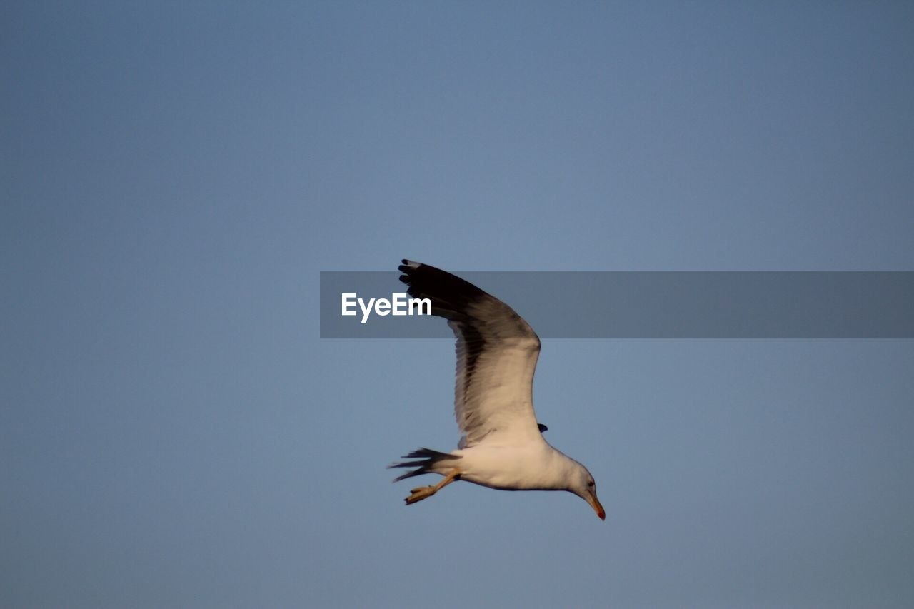 vertebrate, bird, animal wildlife, animals in the wild, one animal, animal, animal themes, flying, spread wings, sky, clear sky, mid-air, copy space, low angle view, no people, motion, nature, blue, seagull, day, flight