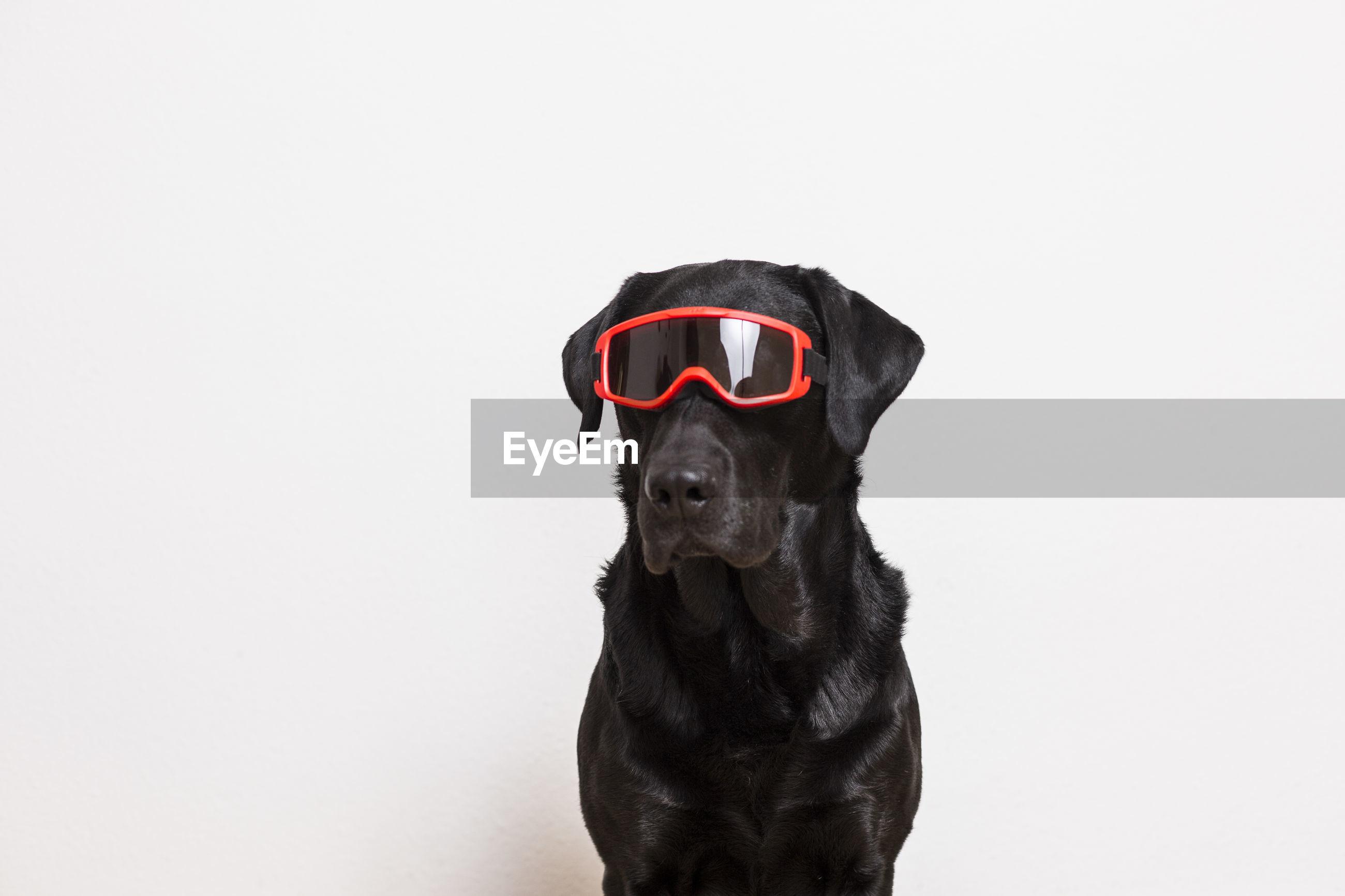 Dog wearing sunglasses against white background