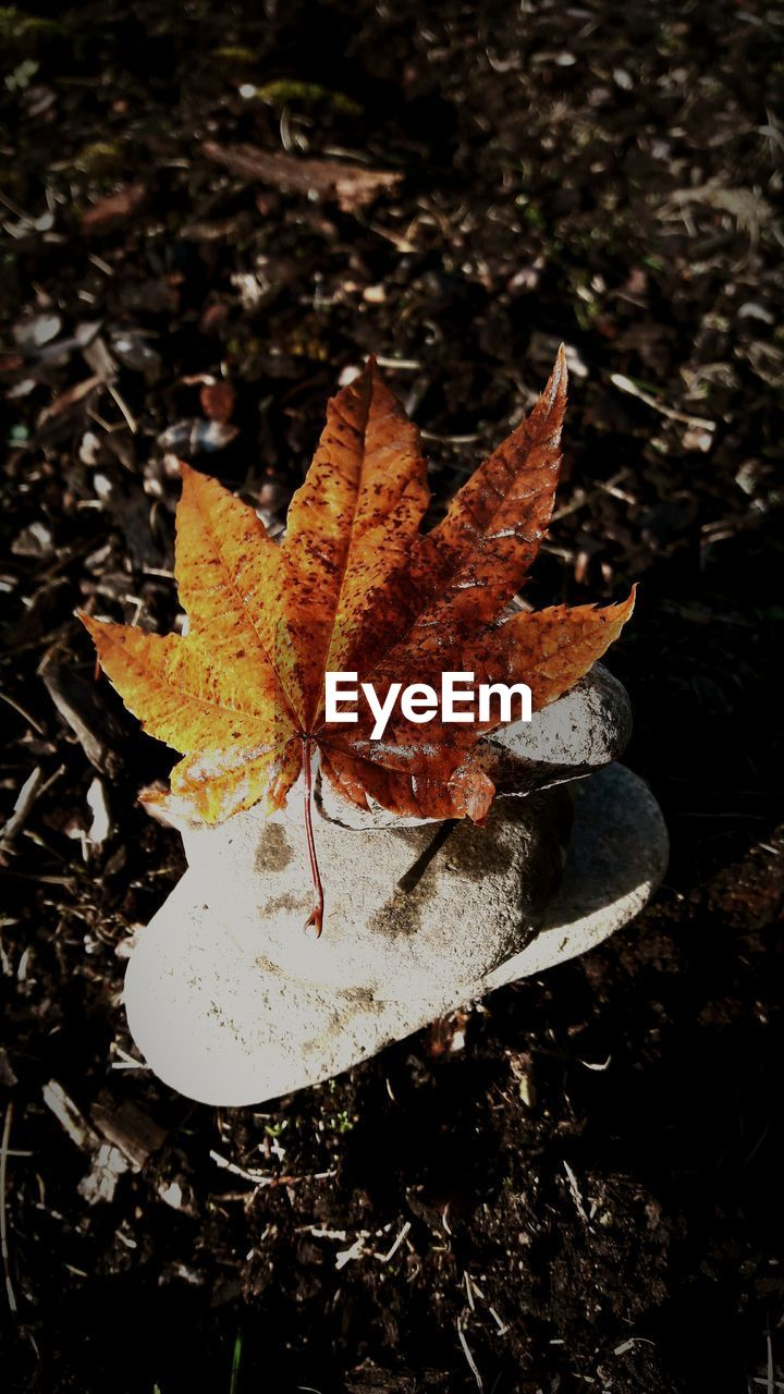 autumn, leaf, change, dry, nature, maple leaf, outdoors, maple, day, fallen, close-up, beauty in nature, no people, fragility, water