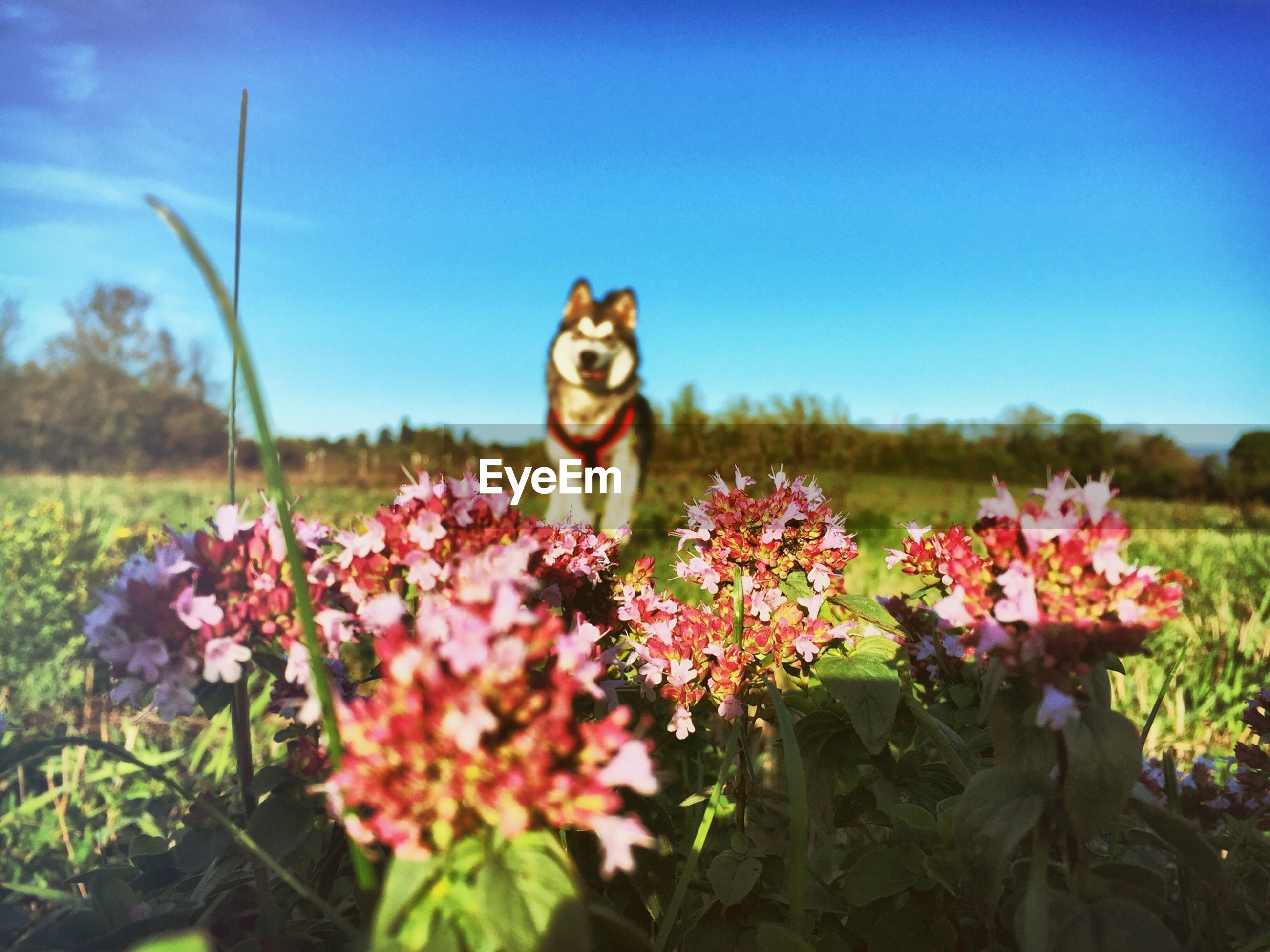 Flowers blooming on field with alaskan malamute in background against blue sky