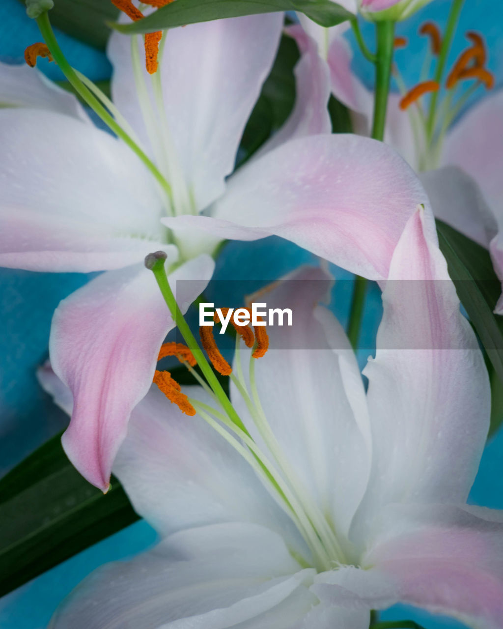 CLOSE-UP OF DAY LILY FLOWERS