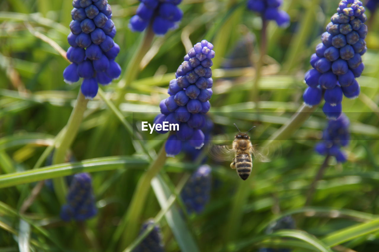 growth, purple, nature, plant, beauty in nature, flower, fragility, freshness, no people, outdoors, day, green color, hyacinth, close-up, pollination, animal themes, flower head