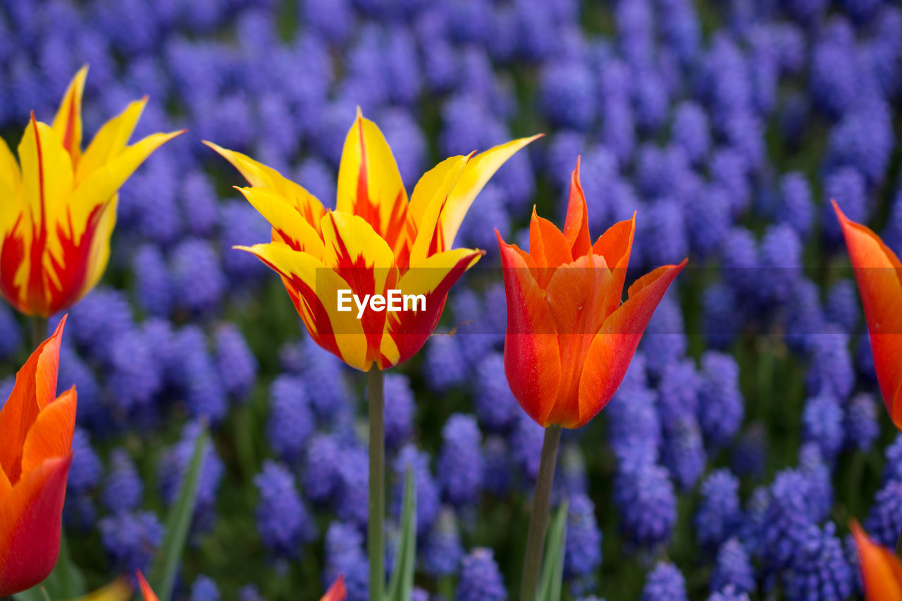 flower, flowering plant, beauty in nature, vulnerability, freshness, plant, fragility, growth, close-up, petal, flower head, purple, inflorescence, no people, focus on foreground, nature, day, field, outdoors, orange color, crocus, flowerbed
