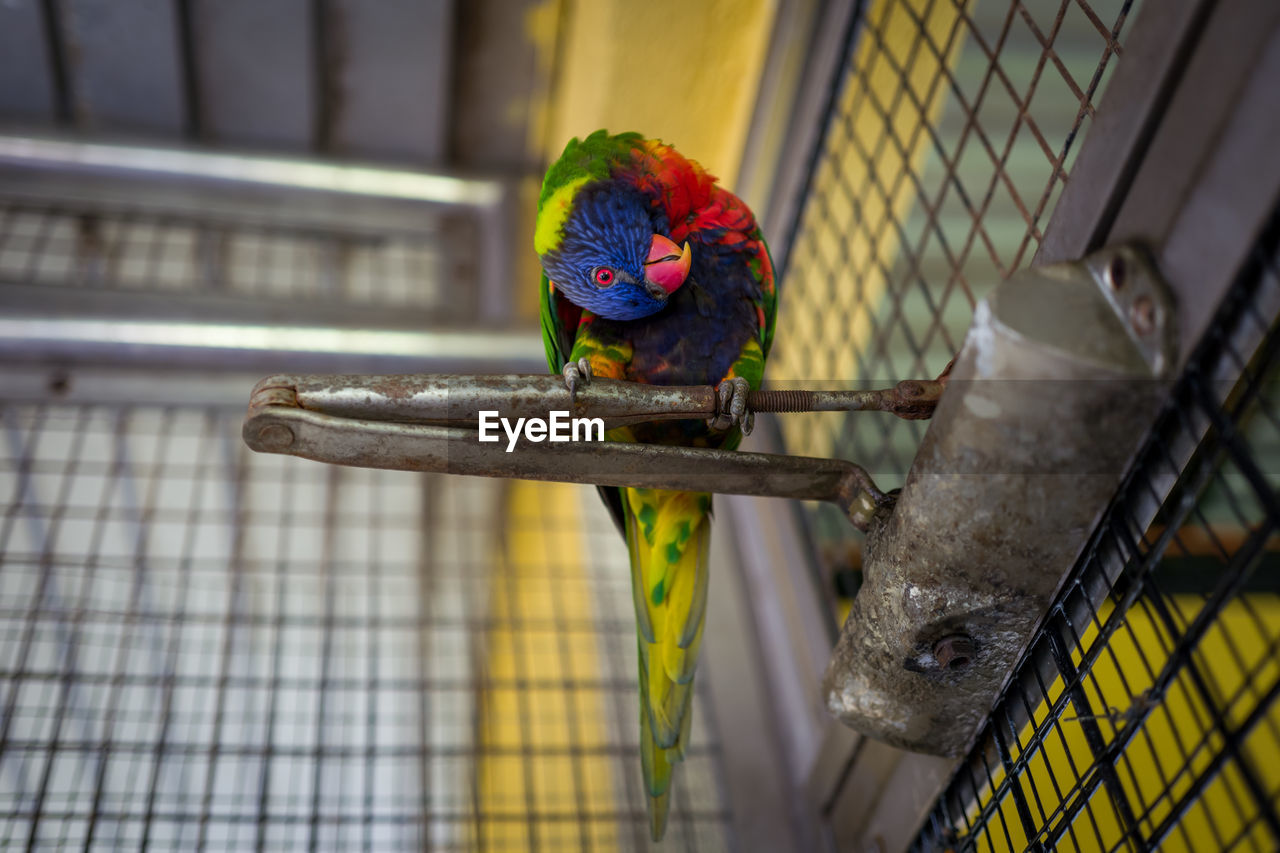 animal themes, animal, parrot, bird, cage, vertebrate, one animal, animal wildlife, perching, no people, animals in captivity, animals in the wild, focus on foreground, multi colored, metal, day, birdcage, pets, domestic, close-up, rainbow lorikeet