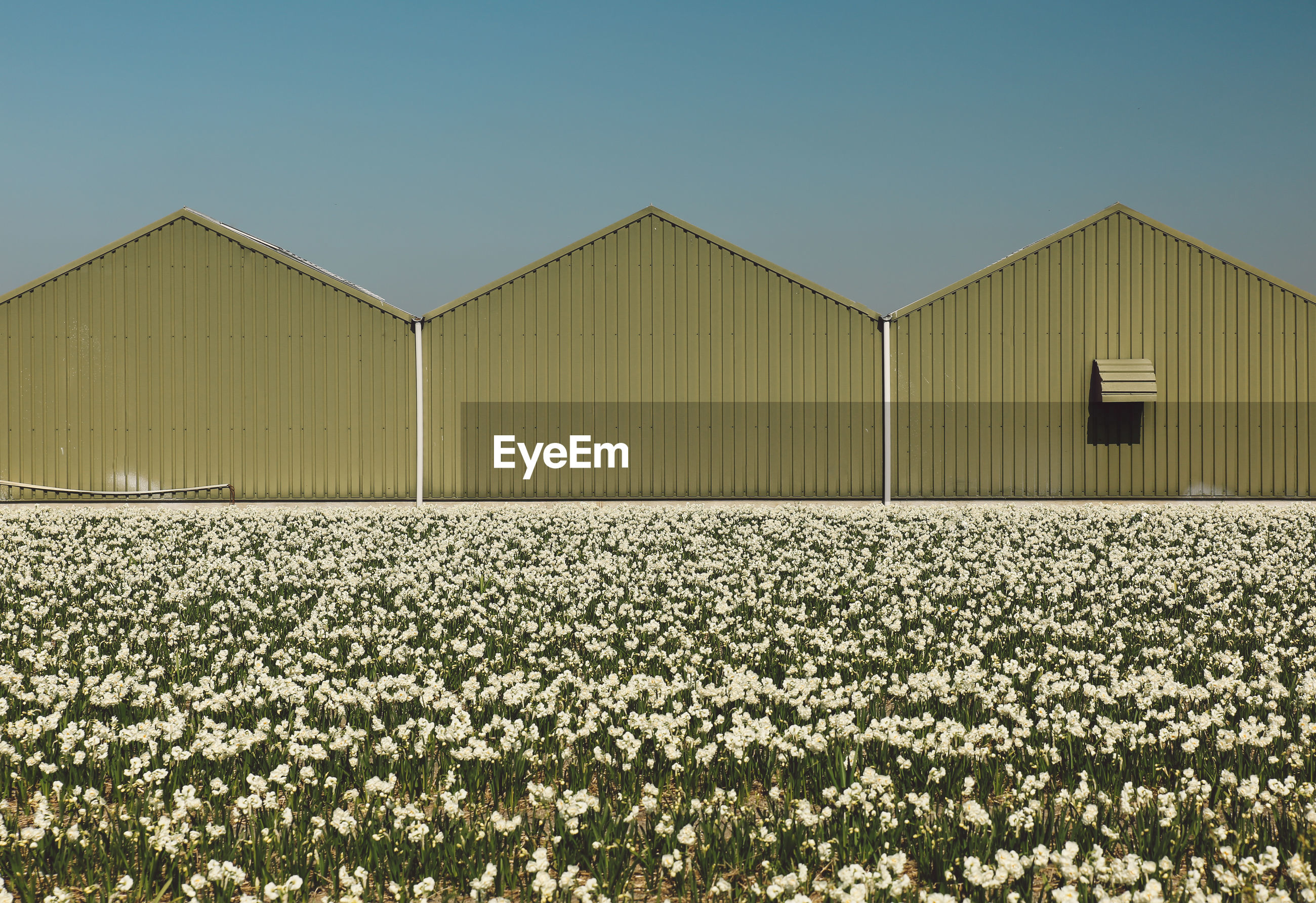 Flowering plants growing by barns against clear sky