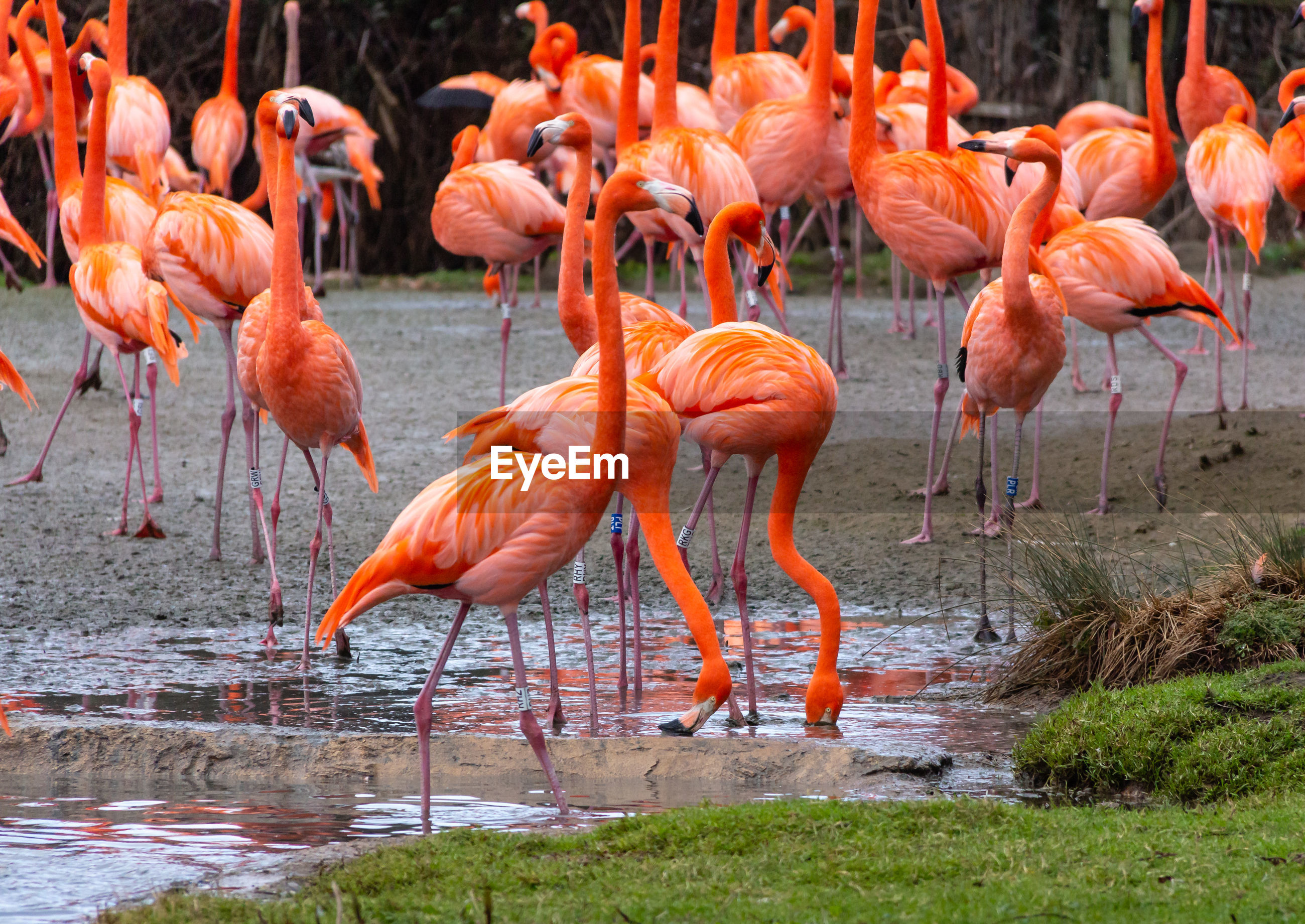 bird, flamingo, animals in the wild, animal themes, animal, group of animals, water, animal wildlife, vertebrate, orange color, large group of animals, pink color, lake, no people, day, nature, beauty in nature, outdoors, wading, flock of birds, mud, animal neck, freshwater bird