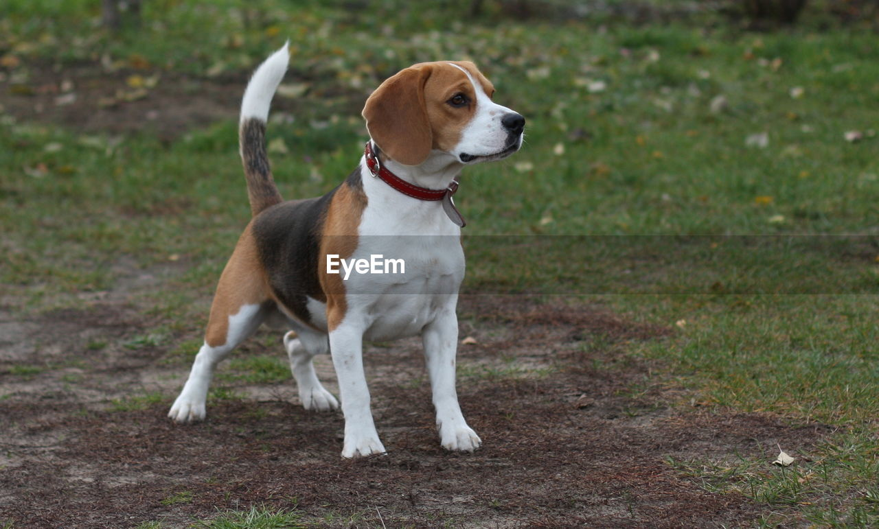 dog, one animal, pets, animal themes, domestic animals, beagle, mammal, sitting, outdoors, day, no people, grass, nature