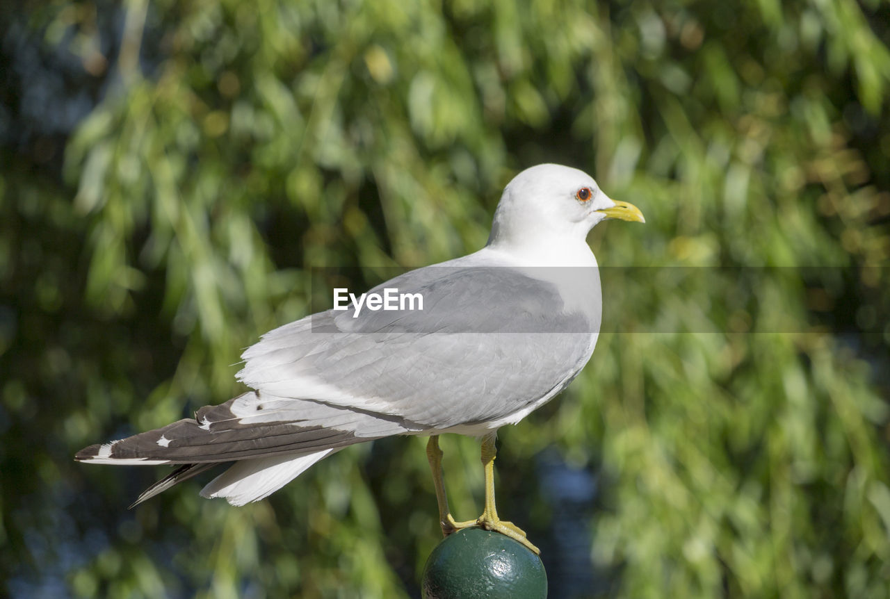 bird, animal themes, vertebrate, animals in the wild, animal, animal wildlife, focus on foreground, one animal, perching, day, no people, close-up, nature, seagull, looking, plant, outdoors, side view, full length, dove - bird