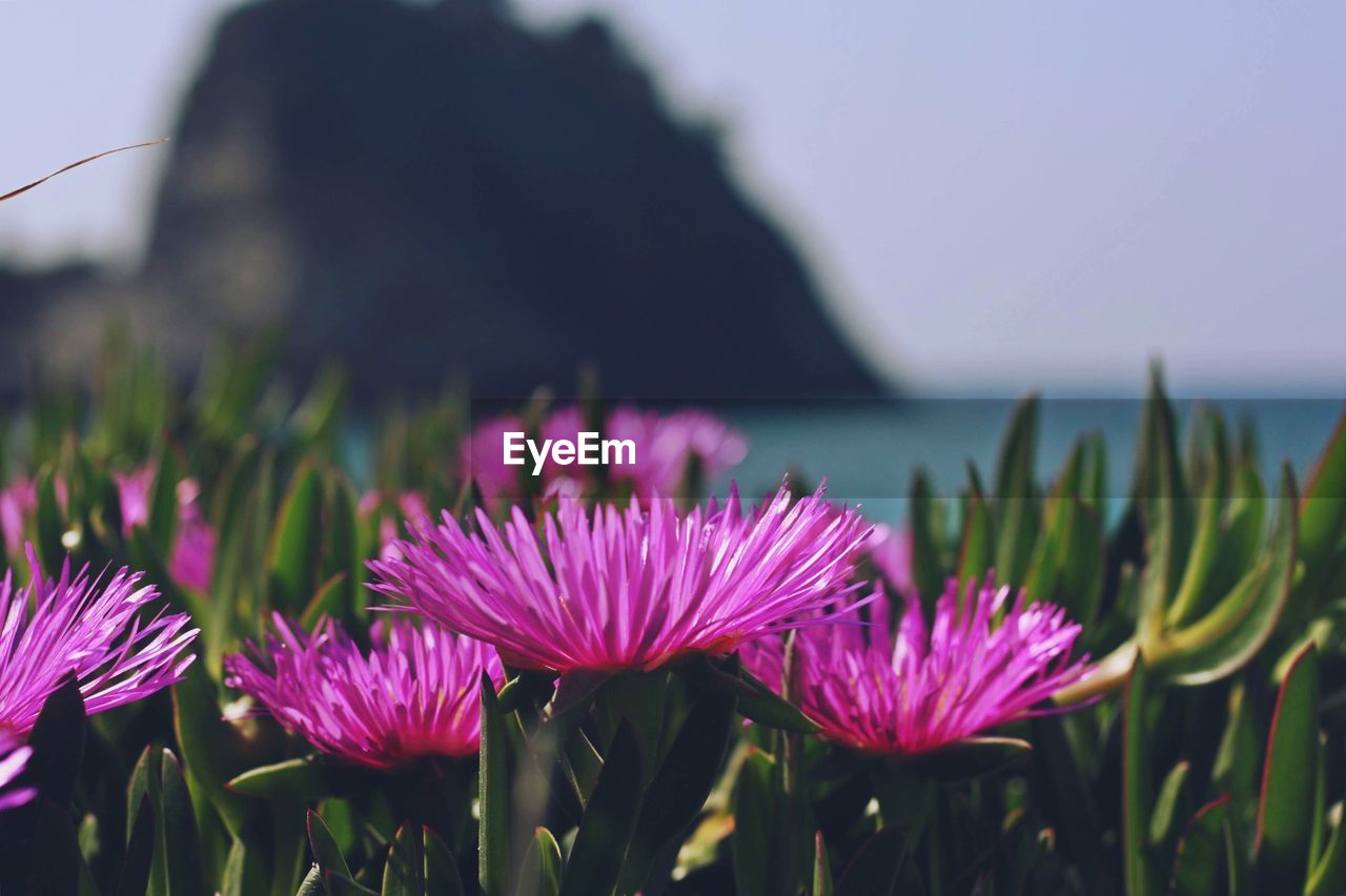 Close-Up Of Pink Flowering Plants By Sea