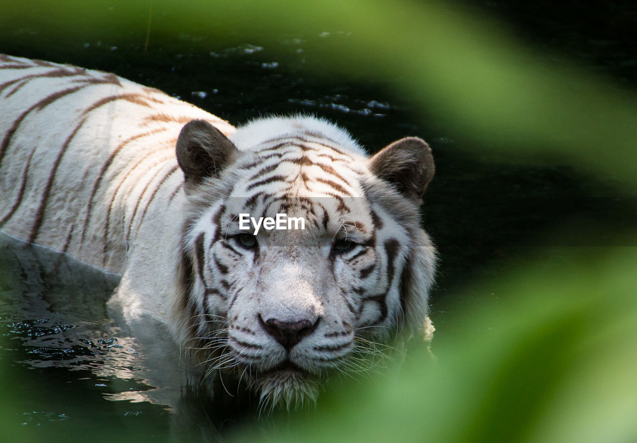 High Angle View Of White Tiger In Pond At Zoo