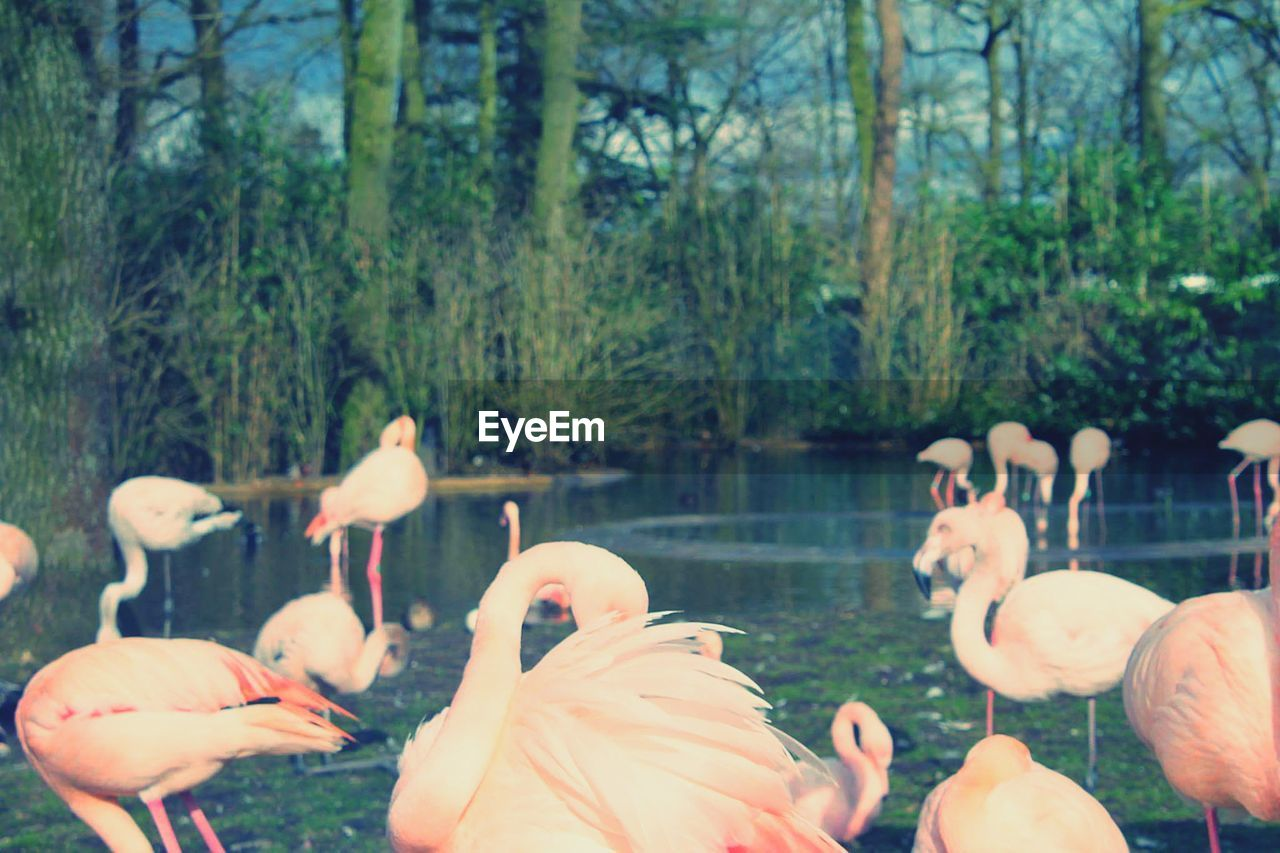 flamingo, bird, animals in the wild, animal themes, nature, day, outdoors, animal wildlife, water, tree, beak, beauty in nature, lake, no people, large group of animals, swan, close-up