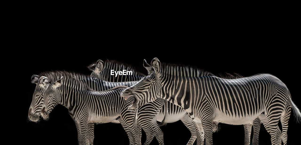 striped, group of animals, zebra, animal, animal themes, animal wildlife, mammal, black background, no people, animals in the wild, studio shot, copy space, vertebrate, two animals, indoors, nature, black color, white color, herbivorous, animal family, herd