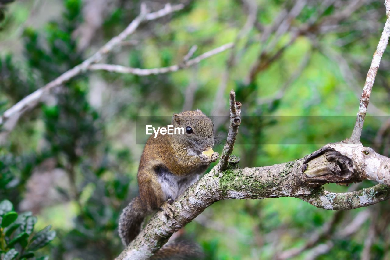 animal wildlife, animal themes, animal, one animal, mammal, animals in the wild, rodent, branch, squirrel, tree, focus on foreground, plant, nature, vertebrate, day, no people, outdoors, land, close-up, tail