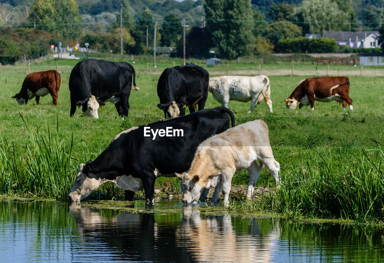 animal themes, animal, mammal, group of animals, domestic animals, livestock, domestic, grass, cattle, plant, vertebrate, water, cow, pets, nature, grazing, agriculture, no people, day, herbivorous, outdoors, drinking, herd