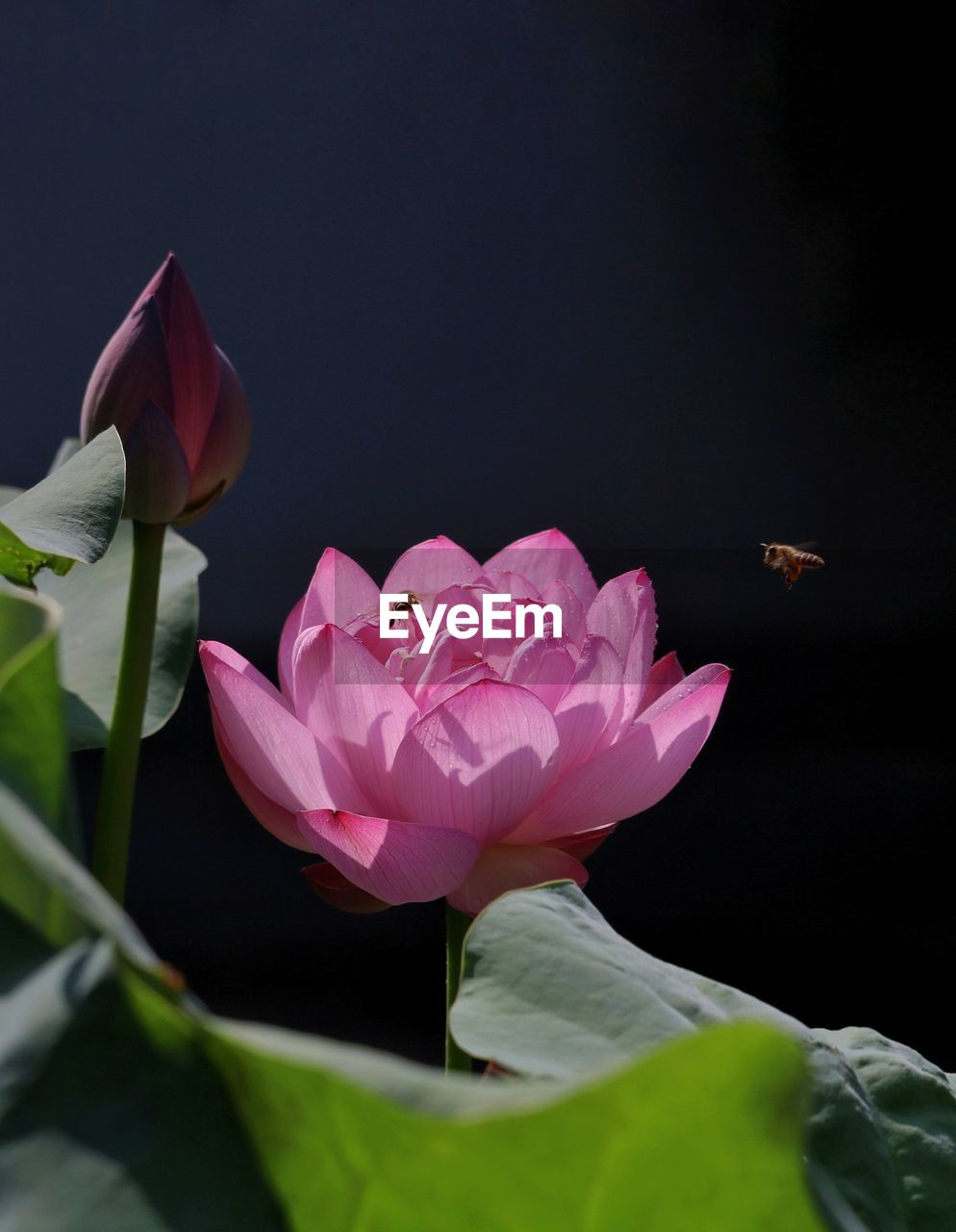 flowering plant, flower, petal, beauty in nature, plant, fragility, vulnerability, freshness, pink color, close-up, inflorescence, flower head, nature, growth, leaf, plant part, water lily, no people, rose, lotus water lily, outdoors, black background