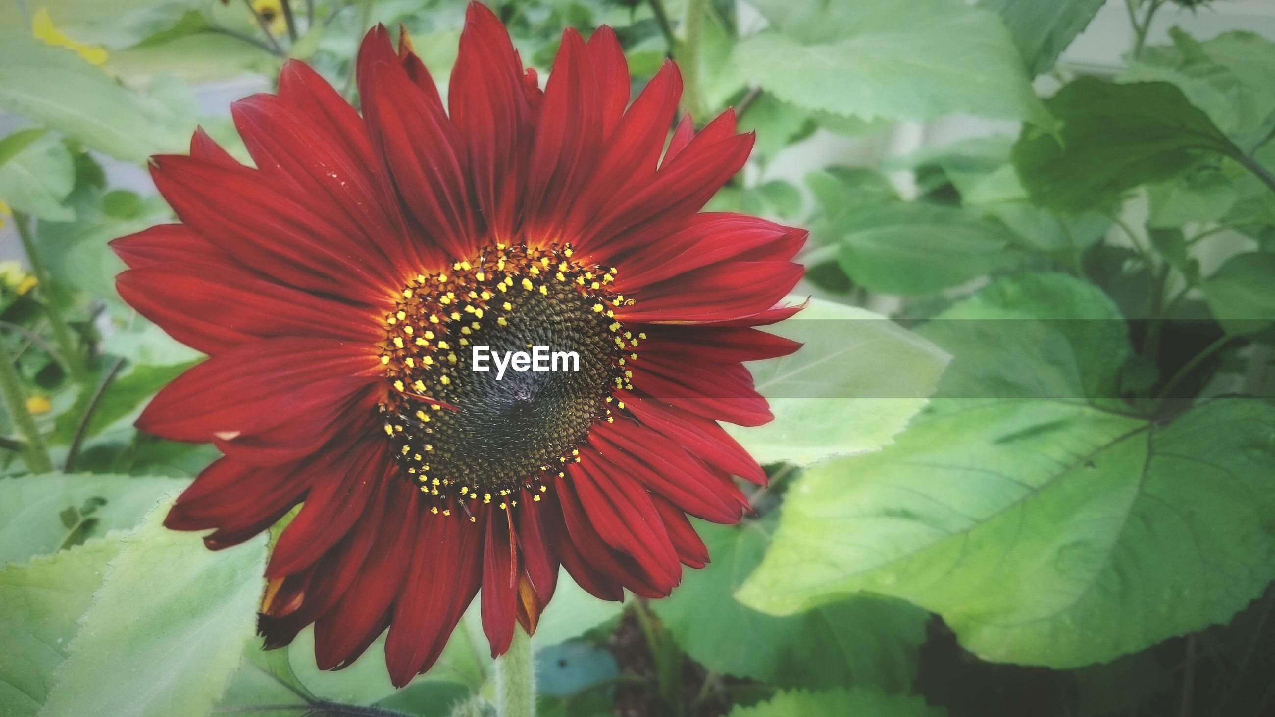 Red sunflower blooming outdoors