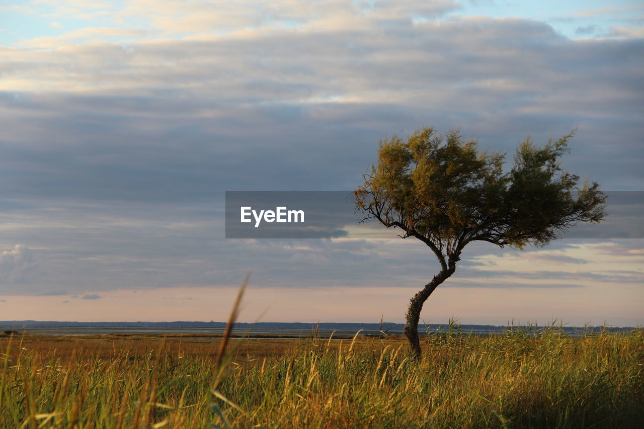 tree, nature, tranquility, sky, beauty in nature, tranquil scene, landscape, grass, field, scenics, no people, outdoors, day, growth, lone