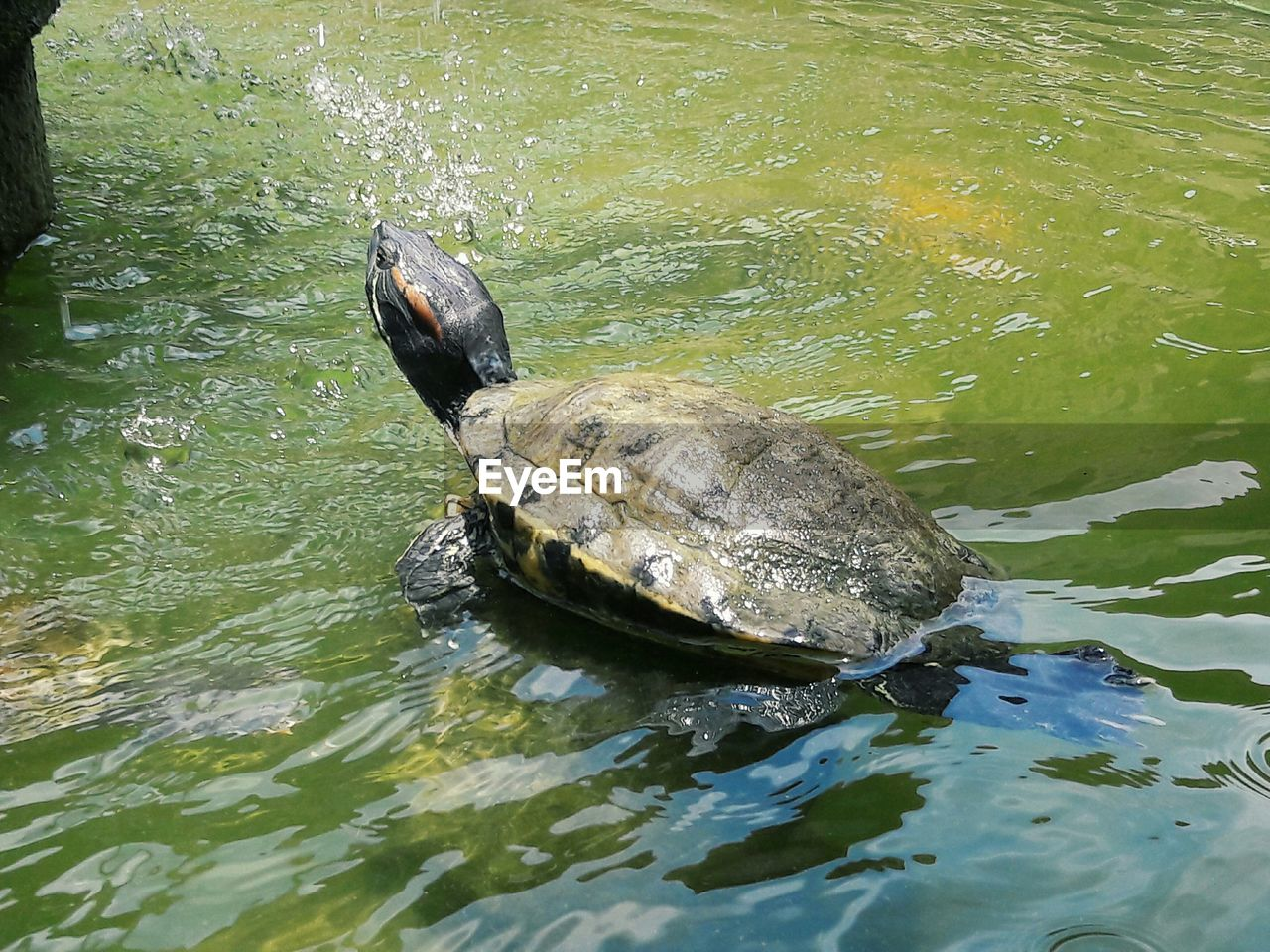turtle, water, animal, animal themes, animal wildlife, animals in the wild, reptile, vertebrate, one animal, lake, waterfront, high angle view, swimming, shell, no people, animal shell, nature, day, marine, tortoise, outdoors, tortoise shell
