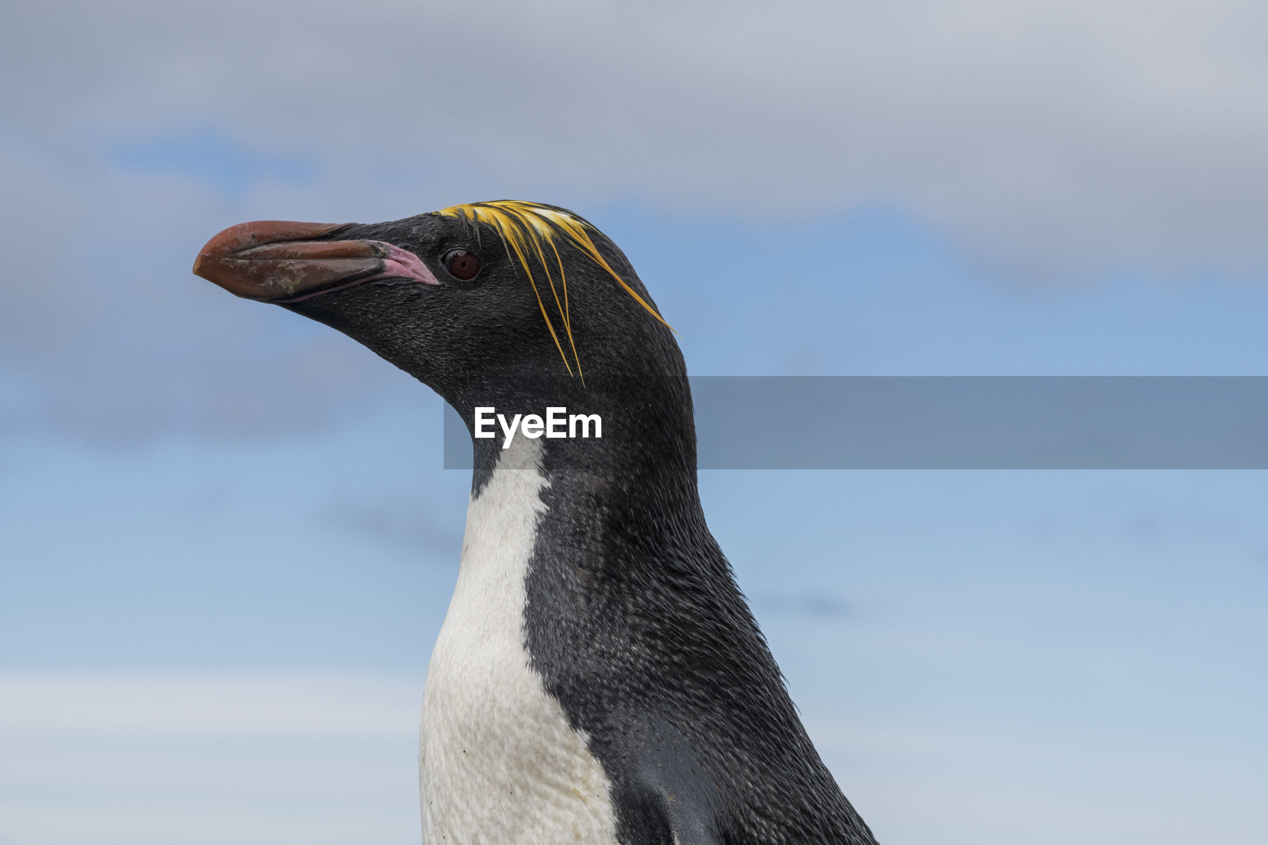 Elephant island, antarctica. close-up portraits of a  macaroni penguin
