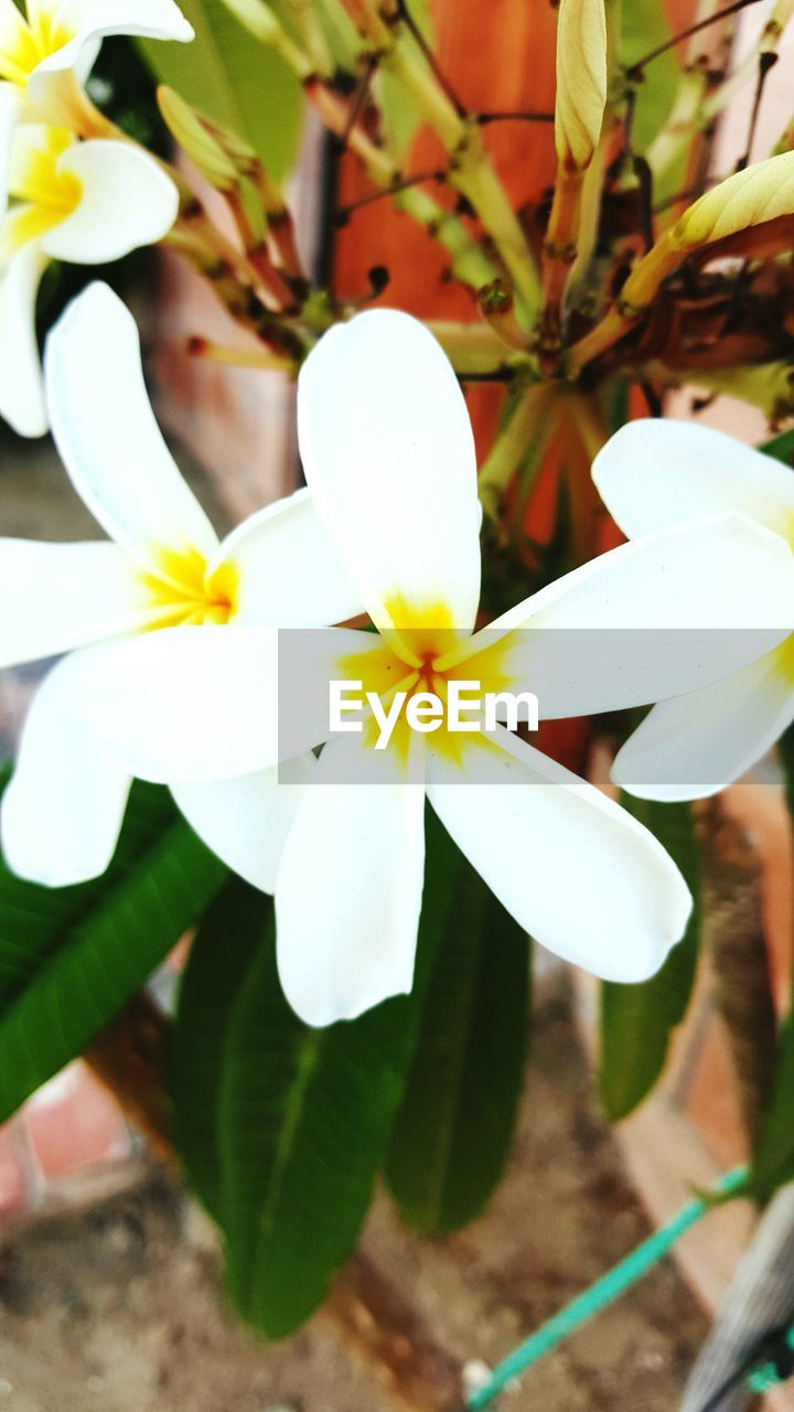 flower, fragility, petal, beauty in nature, freshness, growth, nature, white color, flower head, plant, close-up, blooming, day, outdoors, no people