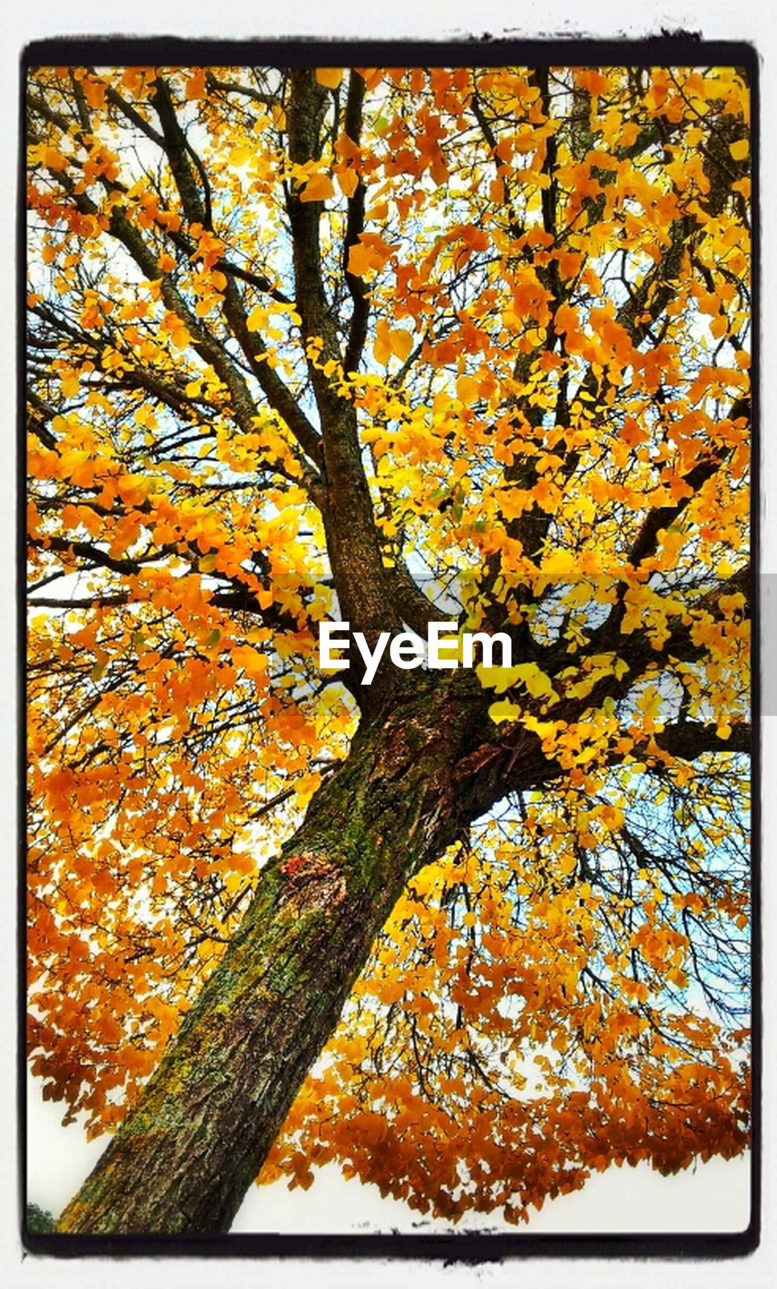 transfer print, autumn, tree, auto post production filter, change, season, yellow, branch, tree trunk, nature, growth, orange color, leaf, low angle view, beauty in nature, outdoors, day, full frame, no people, backgrounds