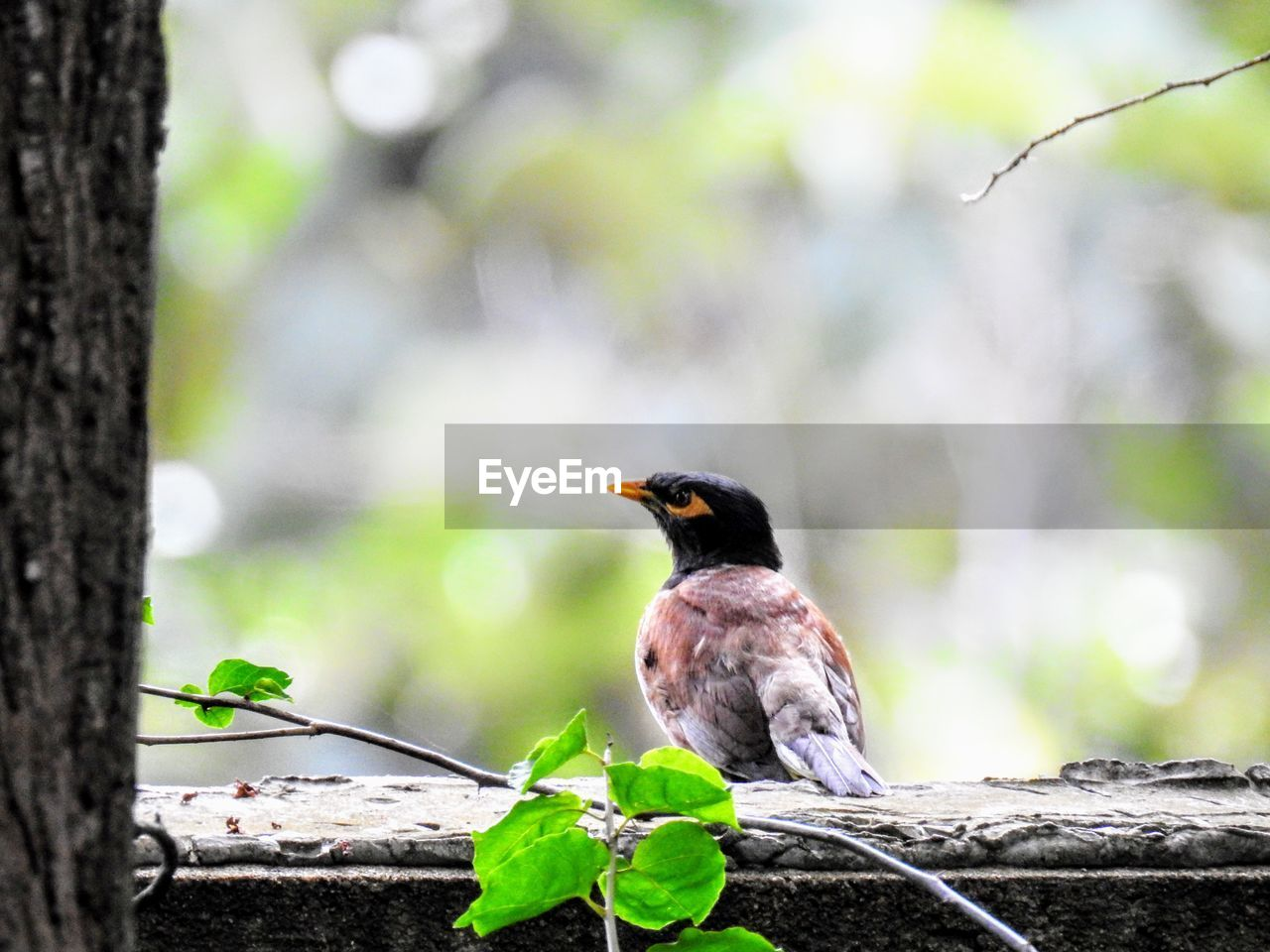 animals in the wild, one animal, animal themes, animal wildlife, animal, bird, vertebrate, plant, focus on foreground, tree, perching, day, nature, no people, outdoors, close-up, tree trunk, plant part, trunk, leaf, blackbird, small