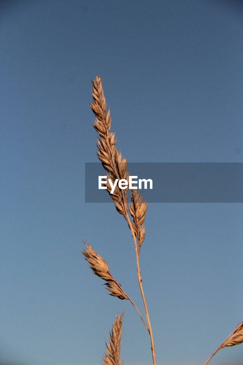 sky, plant, low angle view, nature, no people, copy space, beauty in nature, day, growth, blue, clear sky, crop, close-up, agriculture, outdoors, tranquility, plant stem, cereal plant, sunlight, brown, stalk
