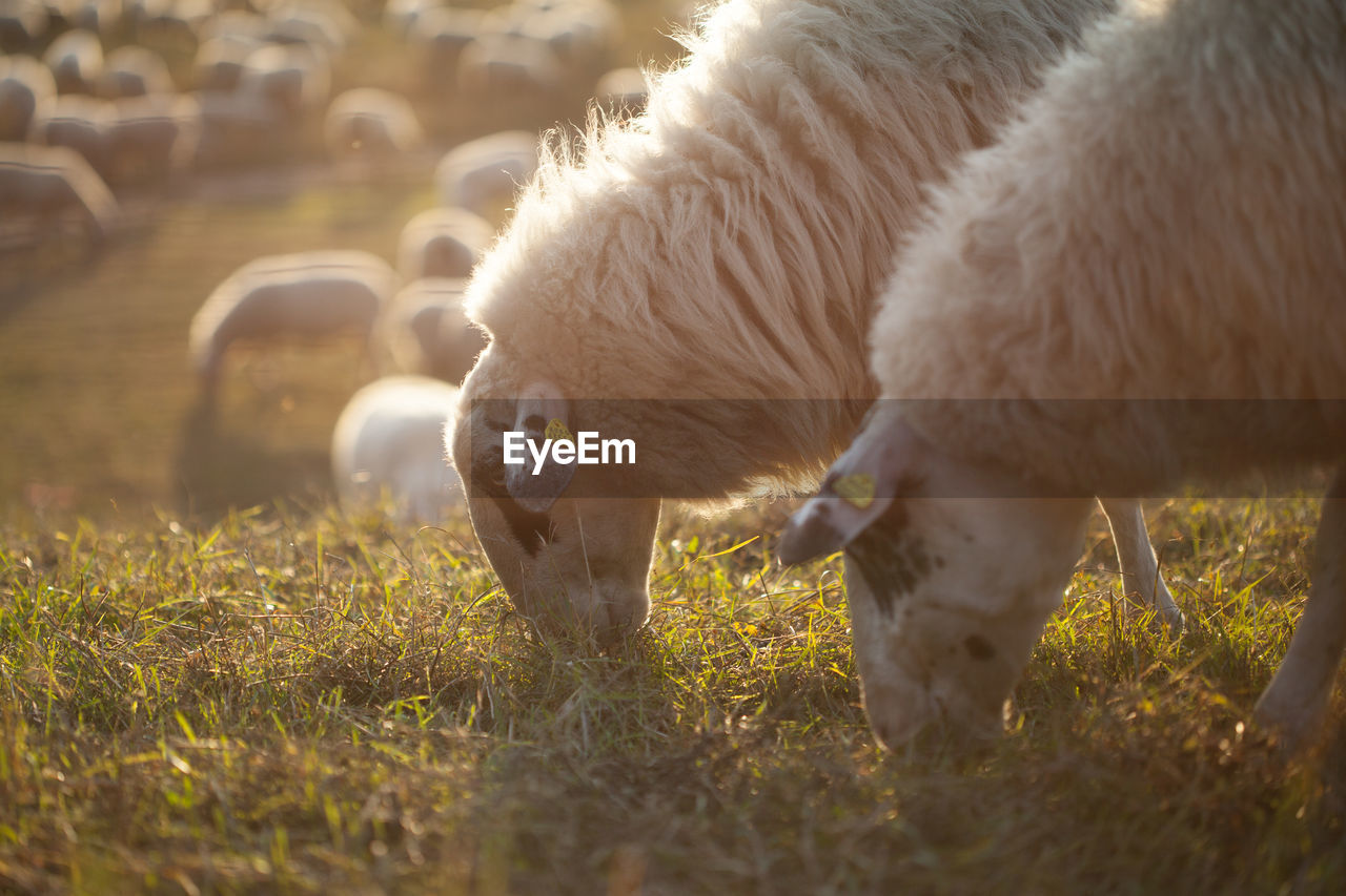 animal themes, mammal, animal, domestic animals, livestock, domestic, pets, group of animals, vertebrate, field, grass, land, grazing, sheep, two animals, plant, nature, lamb, day, eating, no people, outdoors, herbivorous, animal family