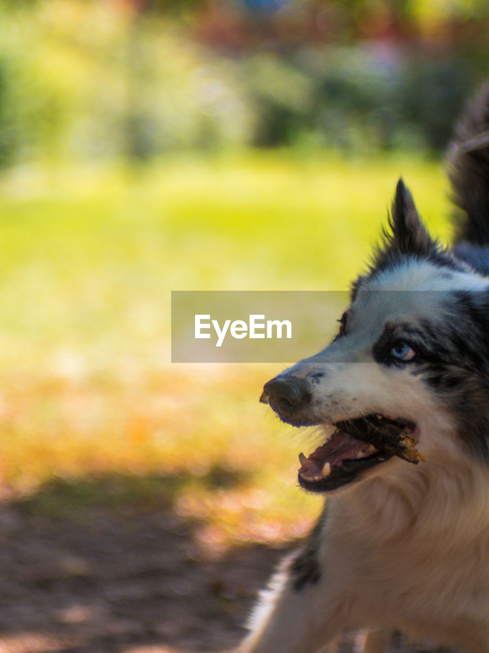 one animal, canine, dog, pets, domestic, mammal, animal themes, domestic animals, animal, vertebrate, focus on foreground, no people, day, field, looking, looking away, animal body part, land, nature, animal head, panting, mouth open, snout