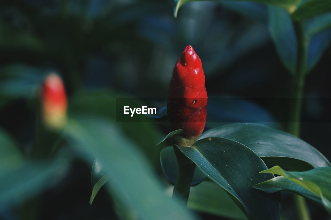 growth, red, plant part, leaf, close-up, plant, chili pepper, green color, pepper, beauty in nature, nature, spice, no people, day, freshness, focus on foreground, red chili pepper, selective focus, vegetable, beginnings
