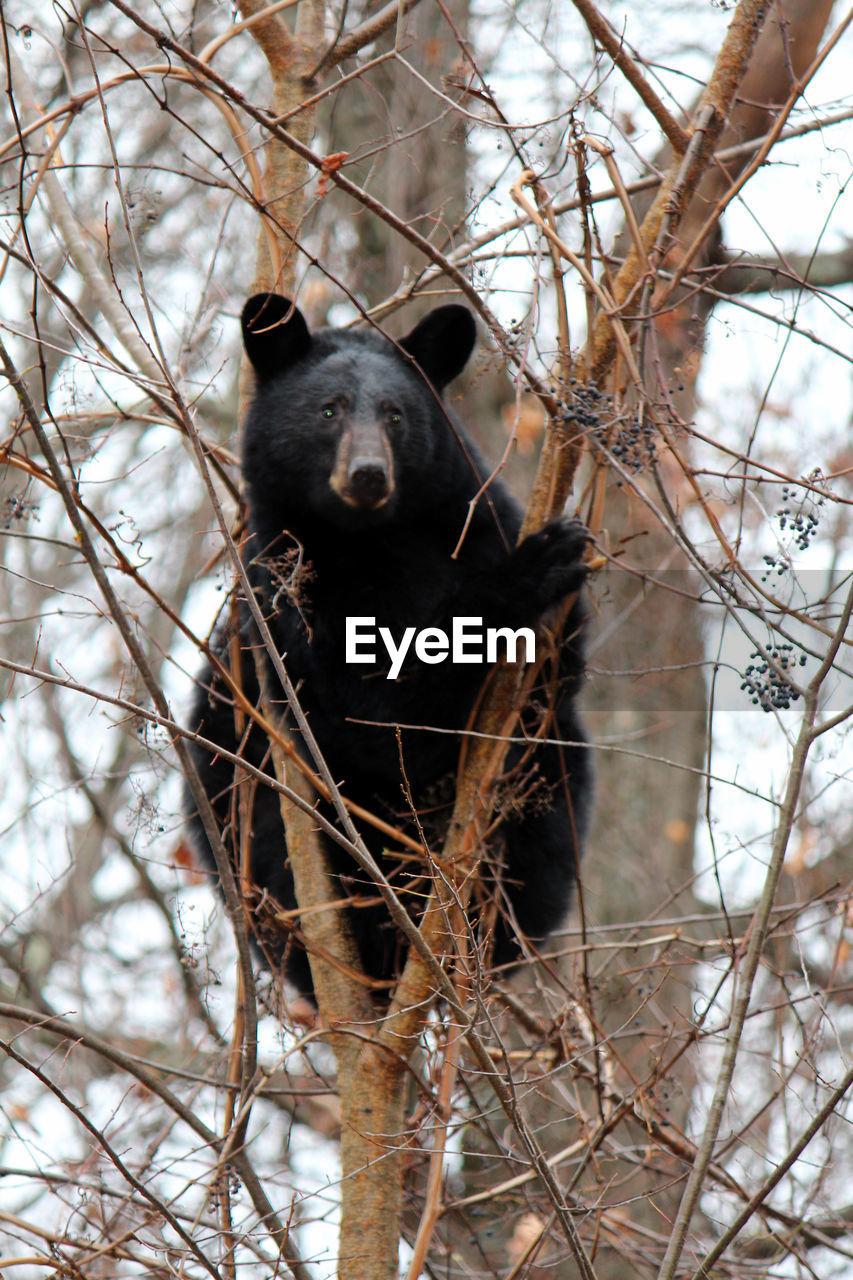 Black bear sitting on bare tree