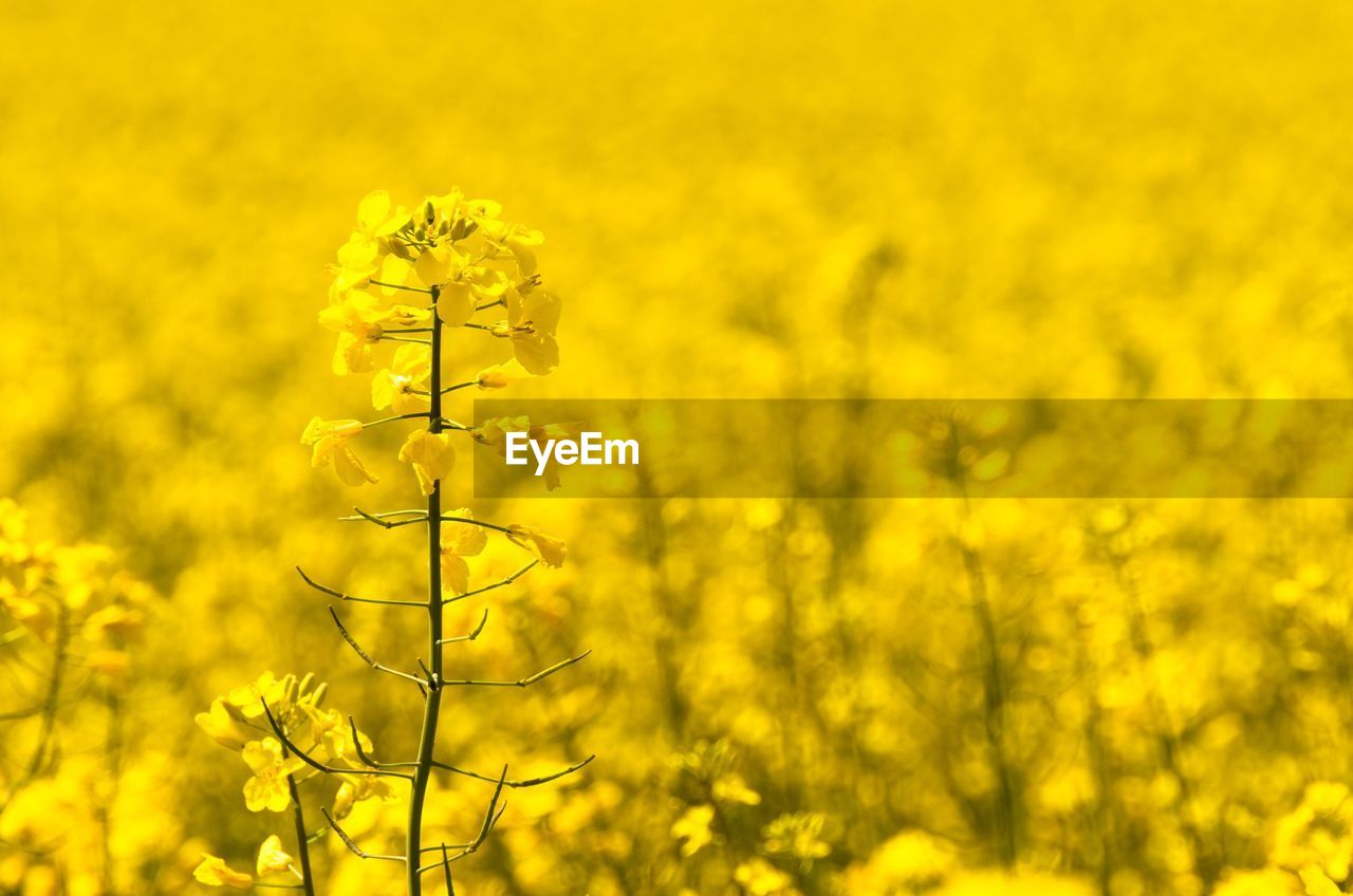 yellow, flower, flowering plant, growth, plant, beauty in nature, oilseed rape, vulnerability, freshness, field, fragility, land, no people, agriculture, mustard plant, crop, nature, rural scene, blossom, tranquility, springtime, outdoors