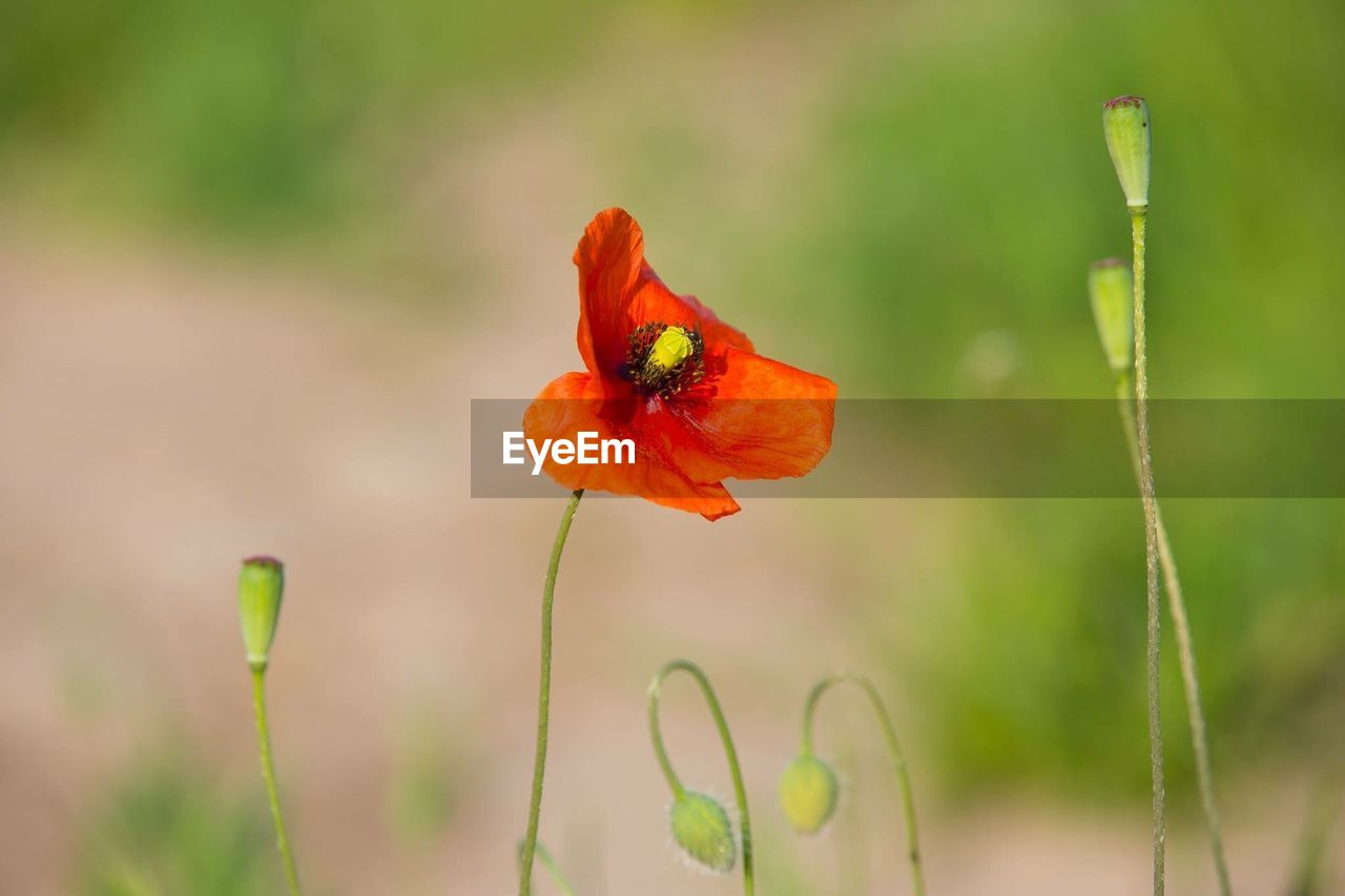 CLOSE-UP OF RED POPPY ON PLANT