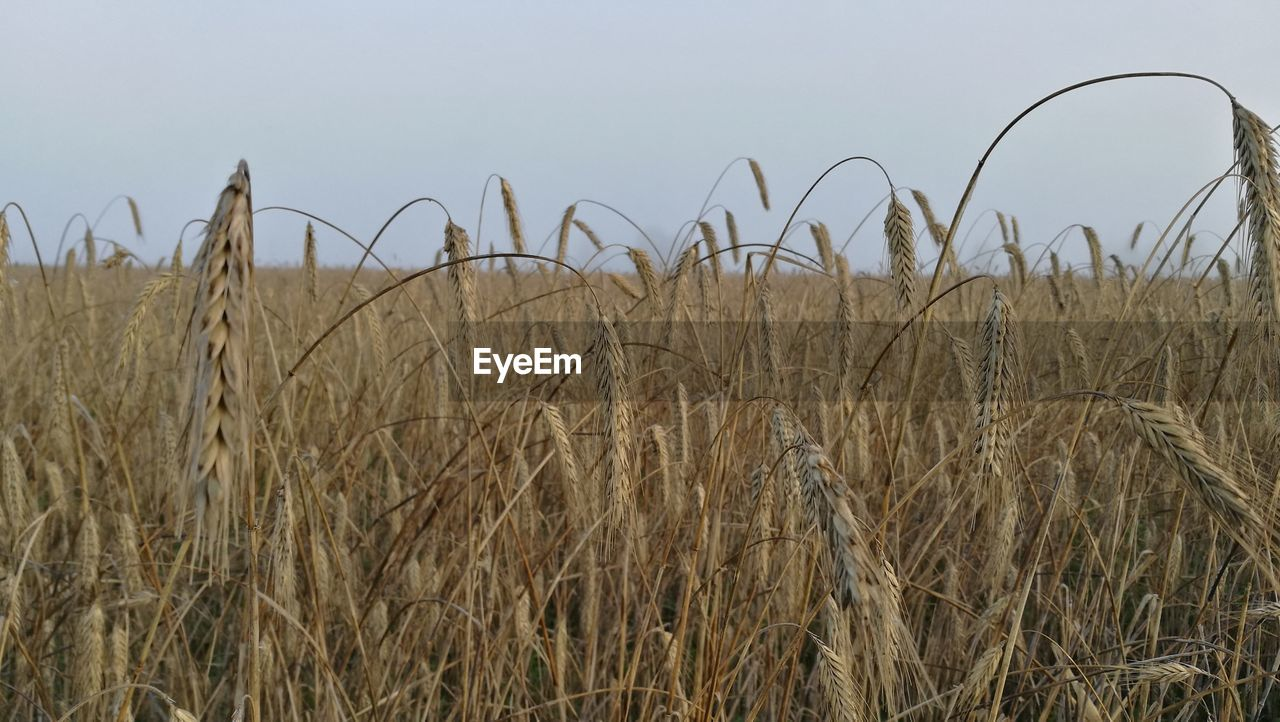 growth, nature, field, agriculture, plant, tranquility, day, crop, no people, outdoors, tranquil scene, cereal plant, grass, beauty in nature, rural scene, wheat, clear sky, sky, close-up