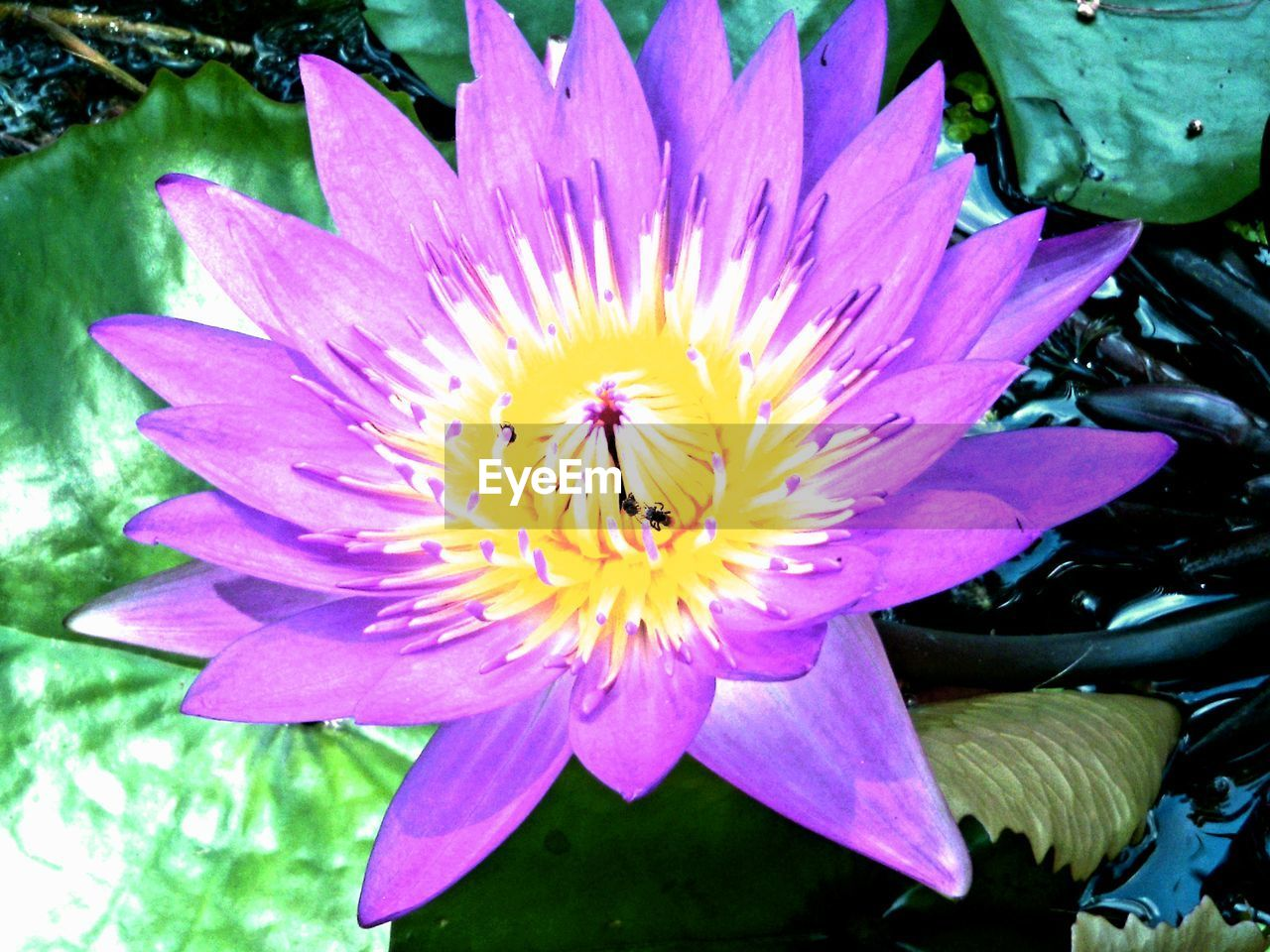 flower, petal, nature, beauty in nature, growth, freshness, fragility, flower head, plant, no people, insect, outdoors, close-up, day, water lily, blooming, animal themes