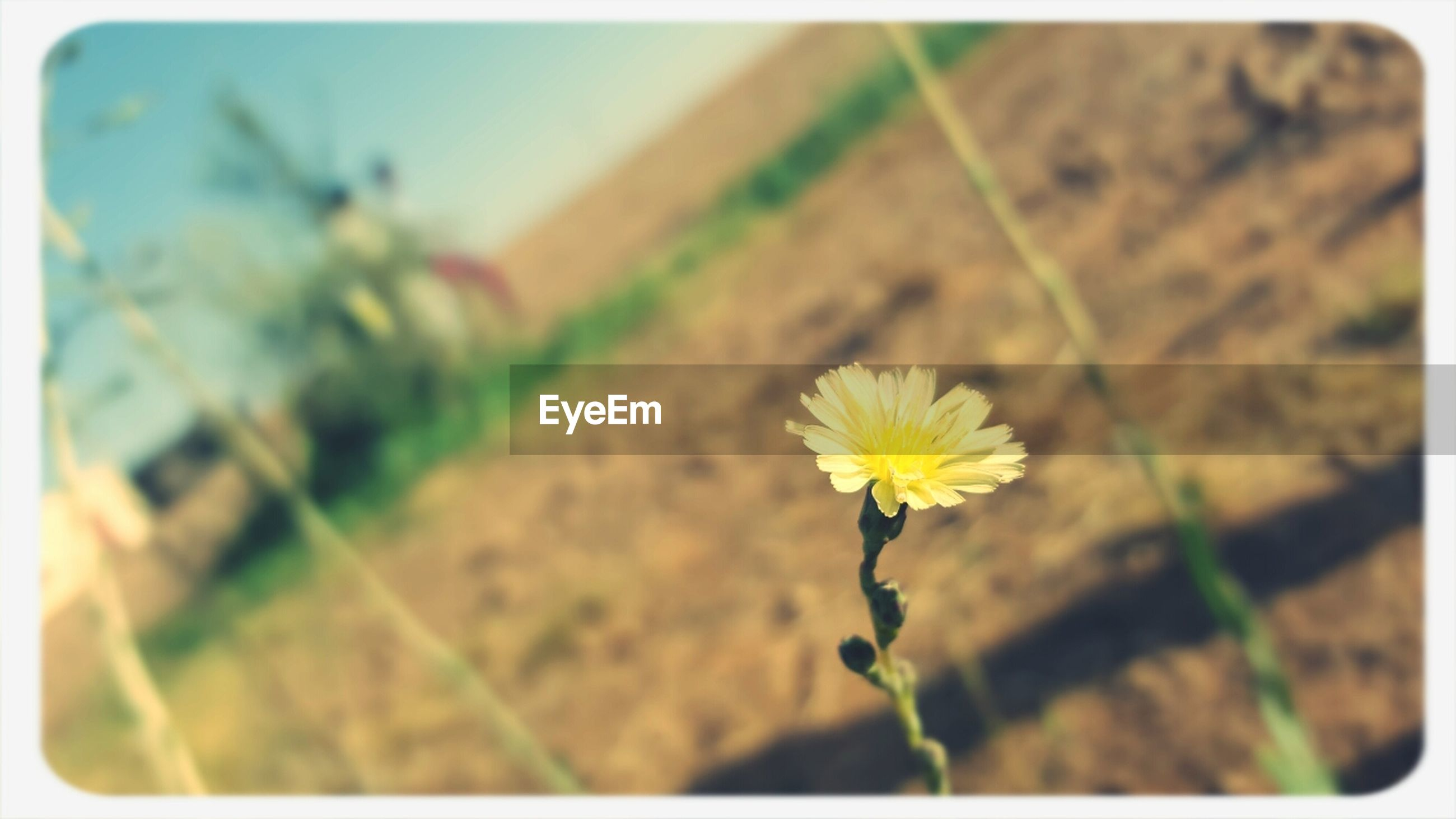 flower, fragility, transfer print, freshness, petal, growth, flower head, focus on foreground, plant, blooming, close-up, beauty in nature, yellow, auto post production filter, nature, stem, selective focus, in bloom, field, day