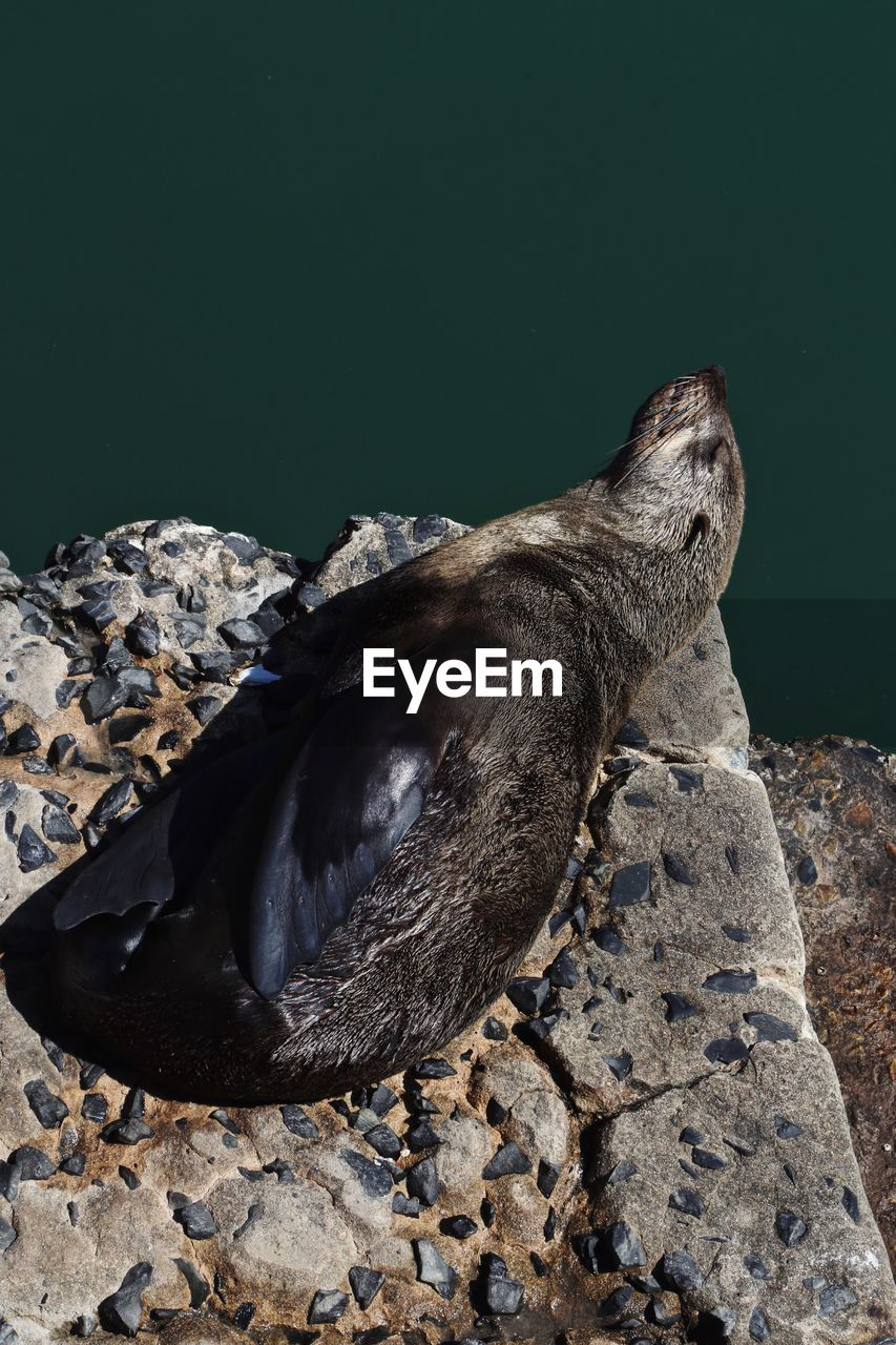animal, animal themes, animal wildlife, one animal, animals in the wild, solid, vertebrate, rock, underwater, no people, mammal, nature, rock - object, seal, day, water, aquatic mammal, sea, seal - animal, high angle view, marine, sea lion