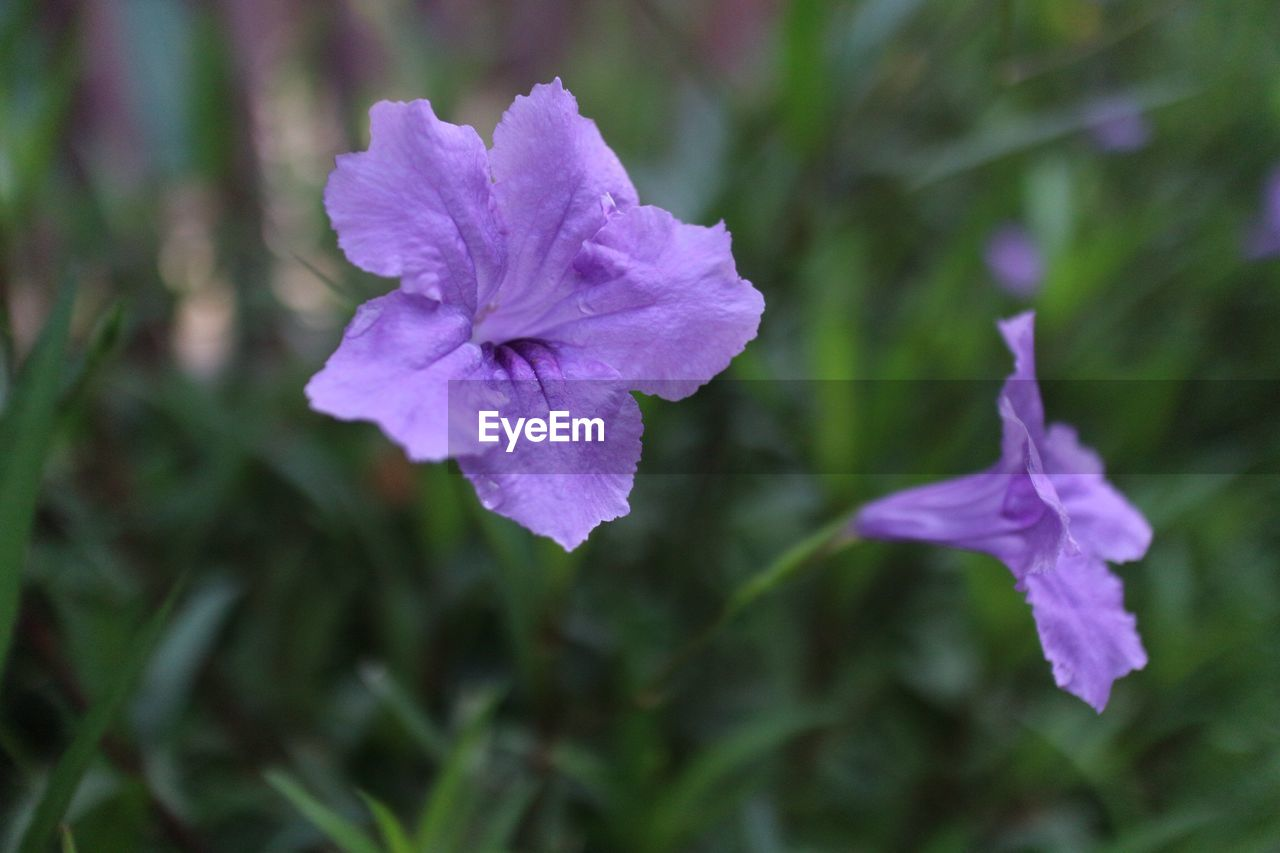 flower, vulnerability, flowering plant, fragility, petal, beauty in nature, close-up, plant, growth, freshness, purple, inflorescence, no people, focus on foreground, flower head, nature, day, outdoors, selective focus, botany, purity, dew