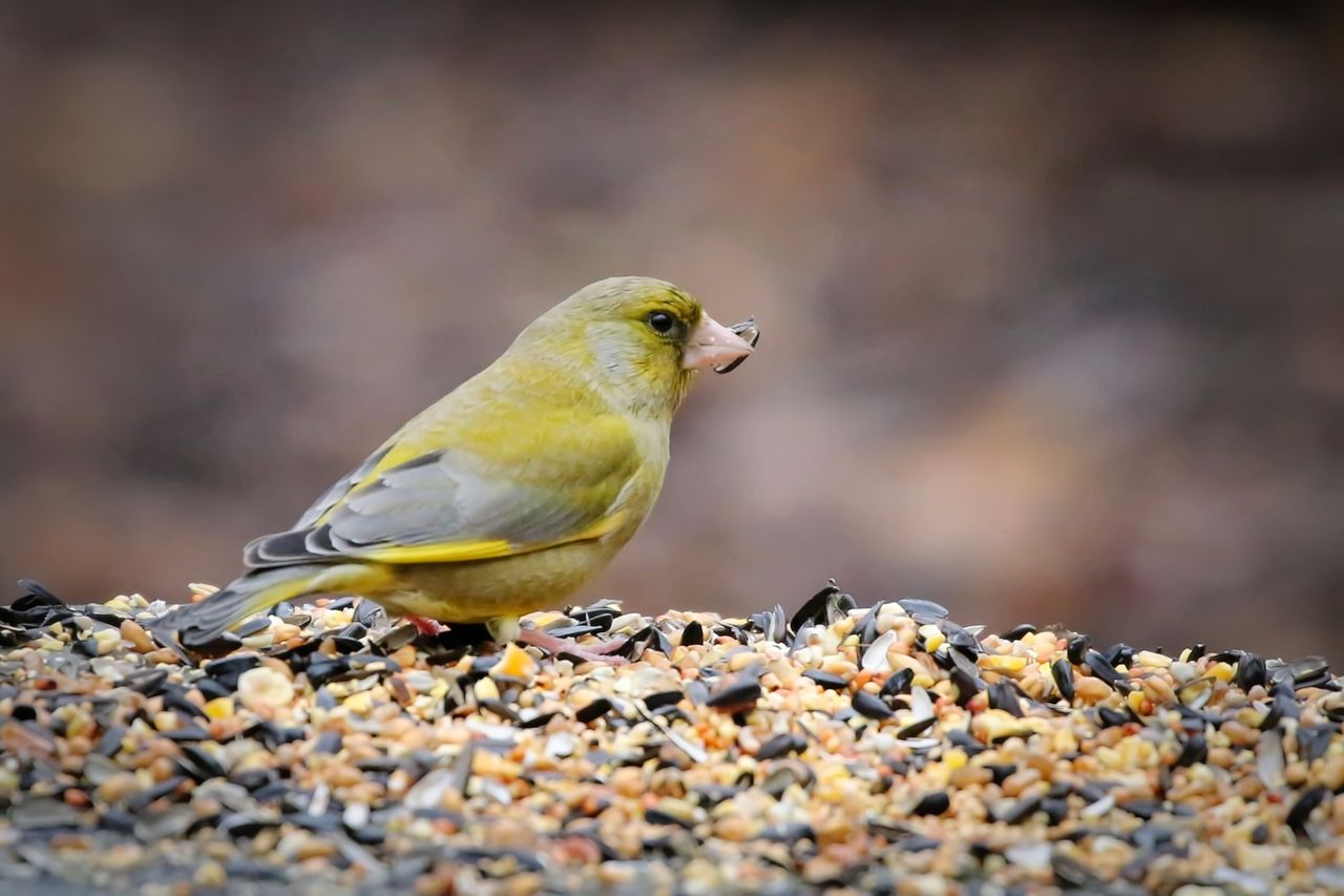 animal themes, animal wildlife, animal, animals in the wild, bird, vertebrate, one animal, day, perching, close-up, selective focus, yellow, nature, solid, no people, outdoors, beauty in nature, focus on foreground, rock, looking away