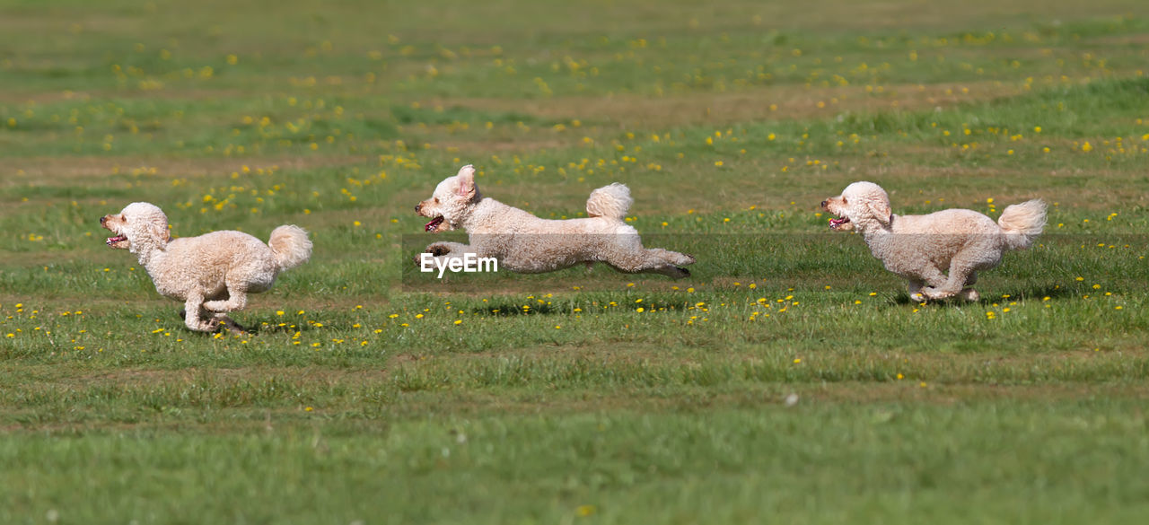 Dogs Running On Grassy Field