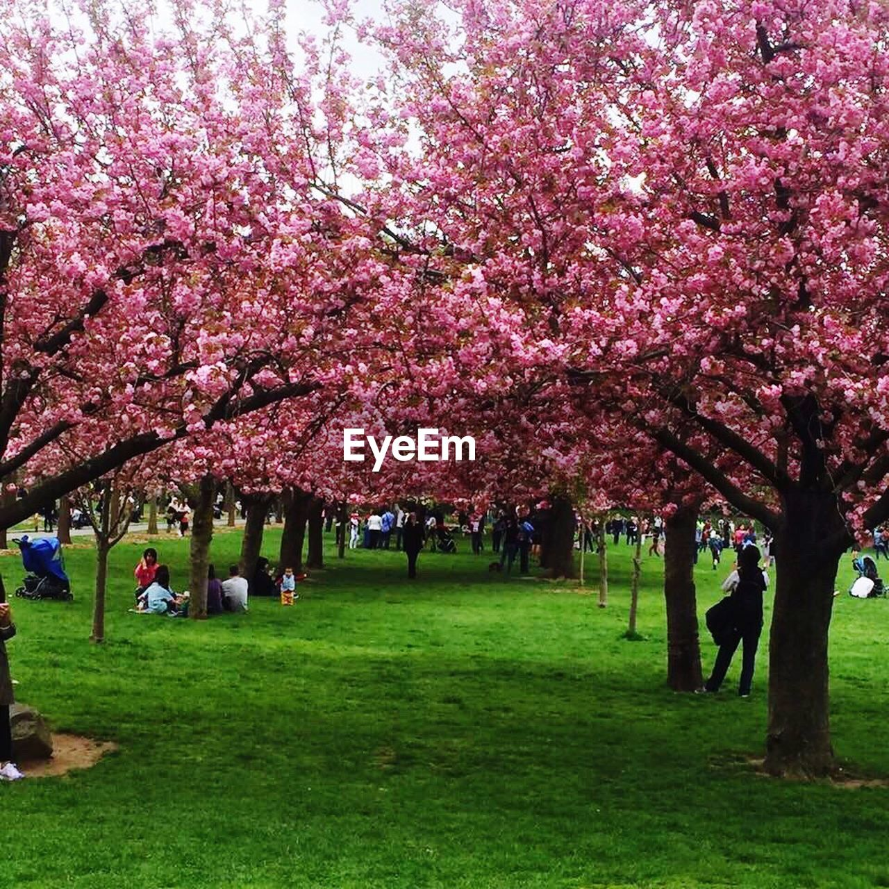tree, beauty in nature, cherry blossom, cherry tree, blossom, nature, flower, growth, grass, springtime, branch, pink color, real people, freshness, scenics, outdoors, men, fragility, park - man made space, day, tranquility, full length, landscape, large group of people, women, sky, people