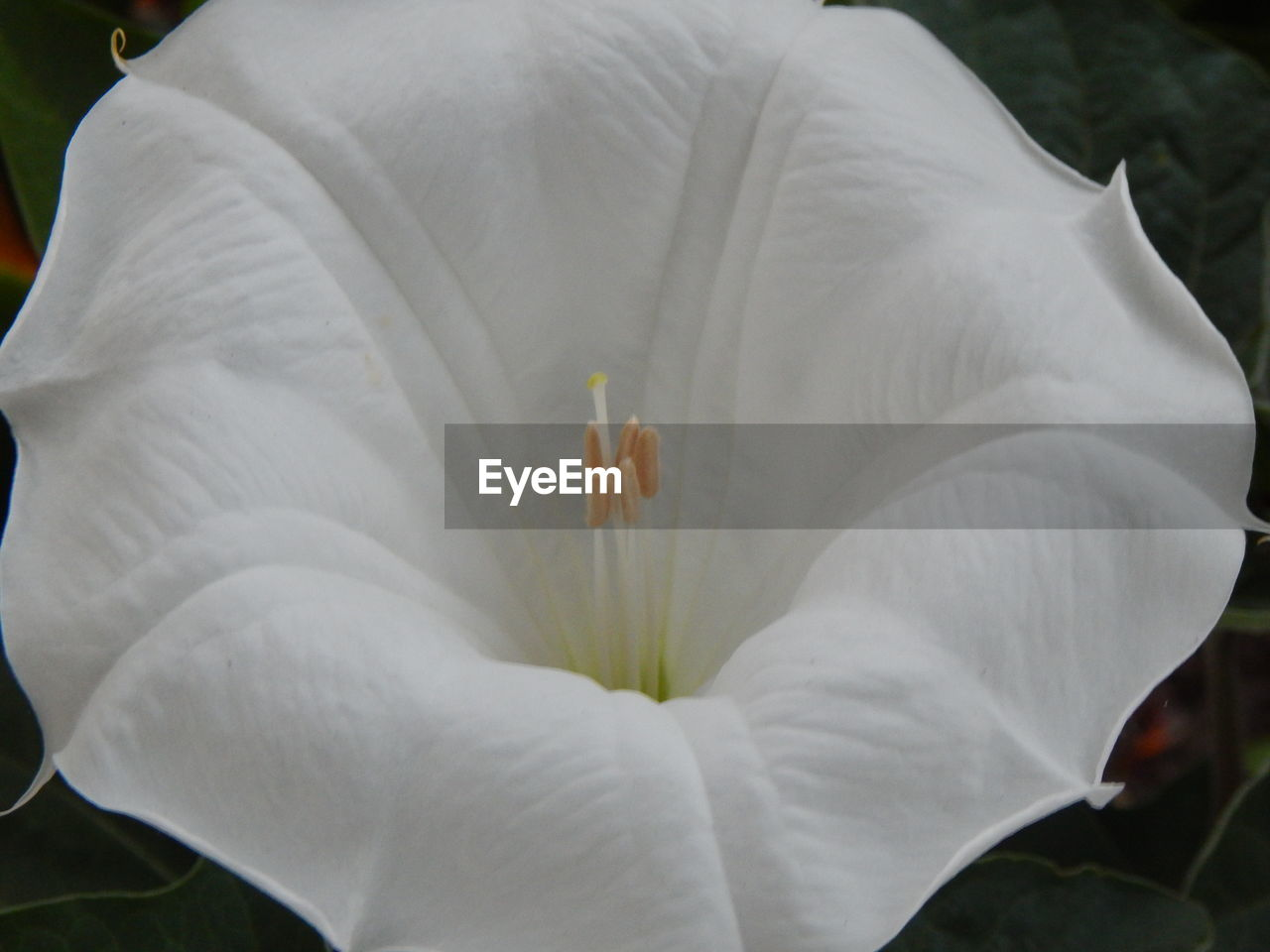 flower, petal, white color, flower head, fragility, beauty in nature, freshness, nature, growth, plant, stamen, outdoors, close-up, day, blooming, no people, hibiscus