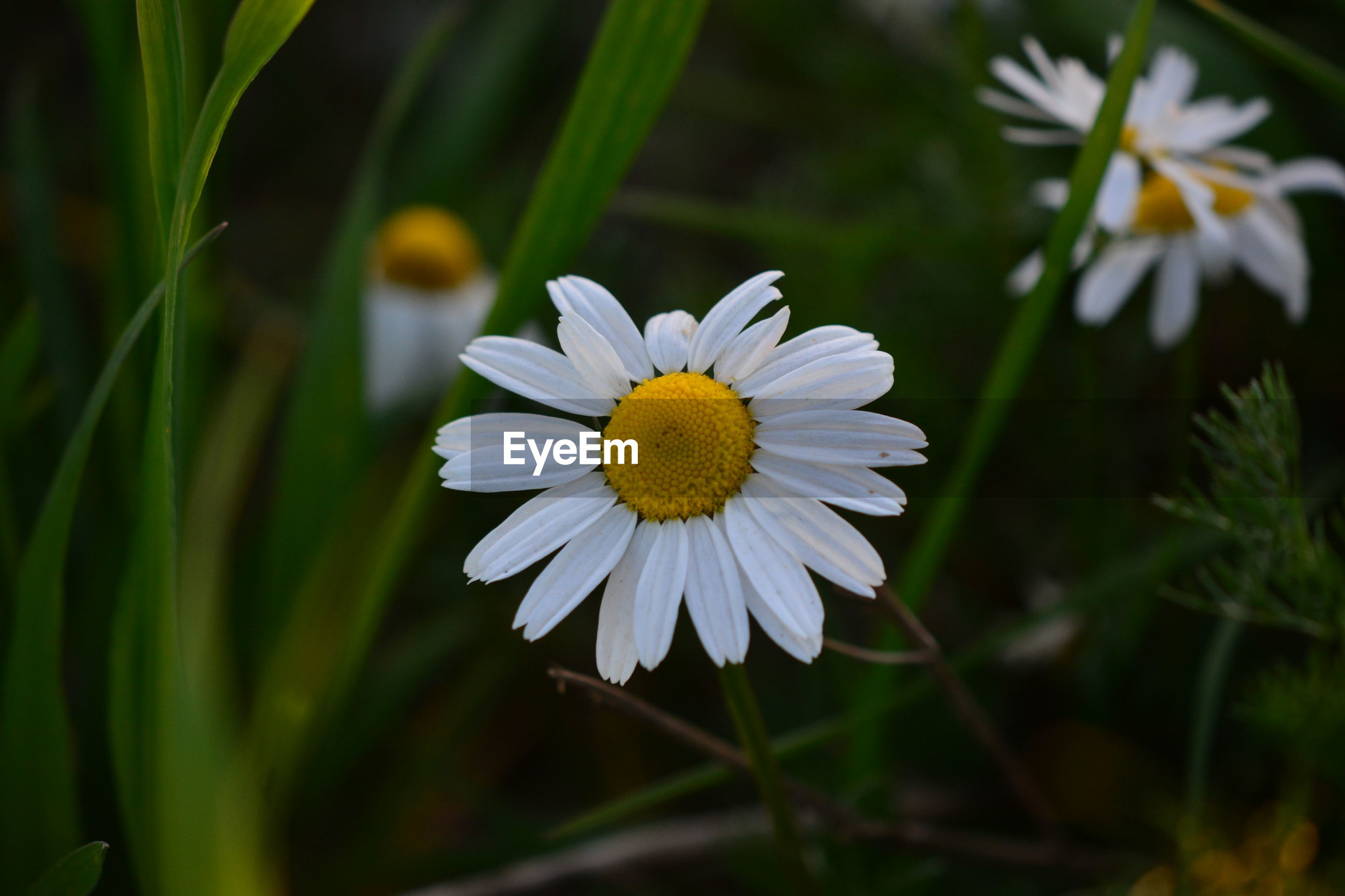 CLOSE-UP OF WHITE DAISY ON PLANTS