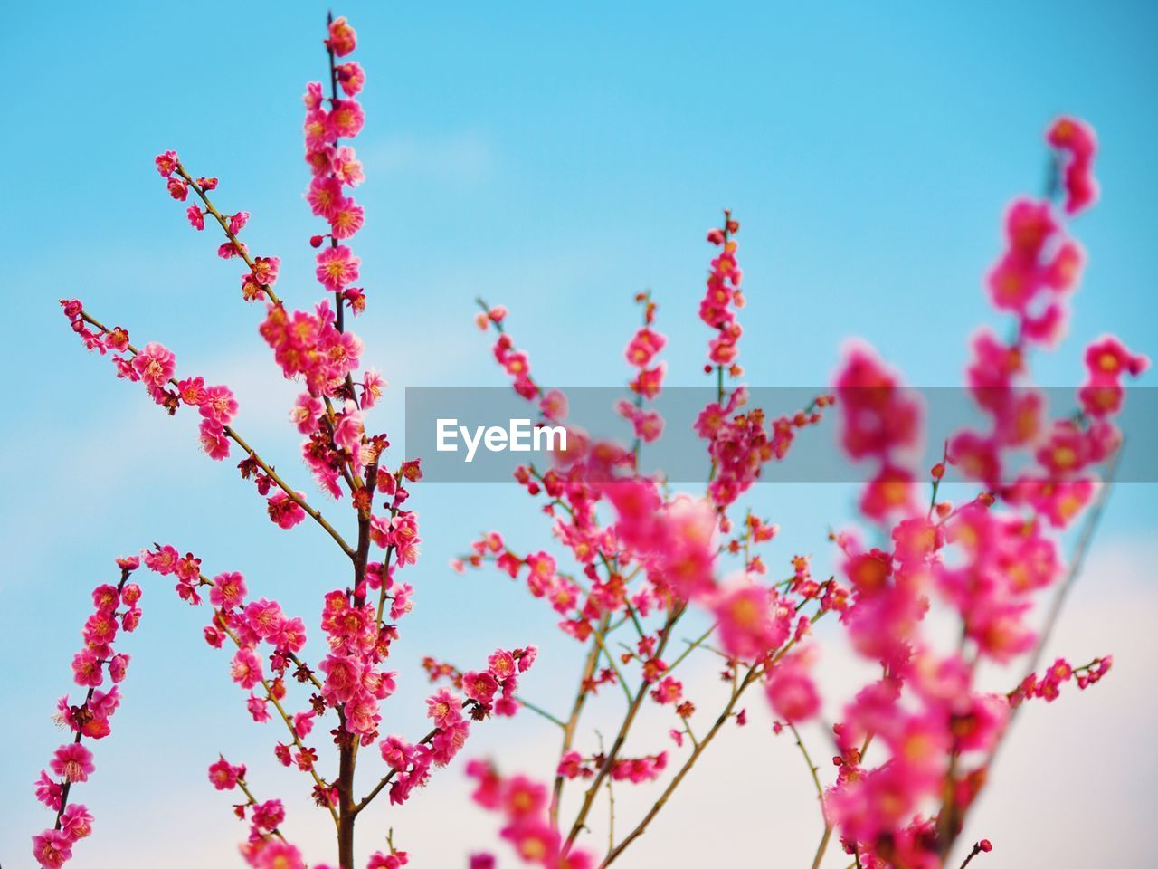 beauty in nature, plant, growth, sky, fragility, vulnerability, nature, flower, low angle view, flowering plant, freshness, no people, day, pink color, close-up, tranquility, blue, red, focus on foreground, selective focus, outdoors, cherry blossom