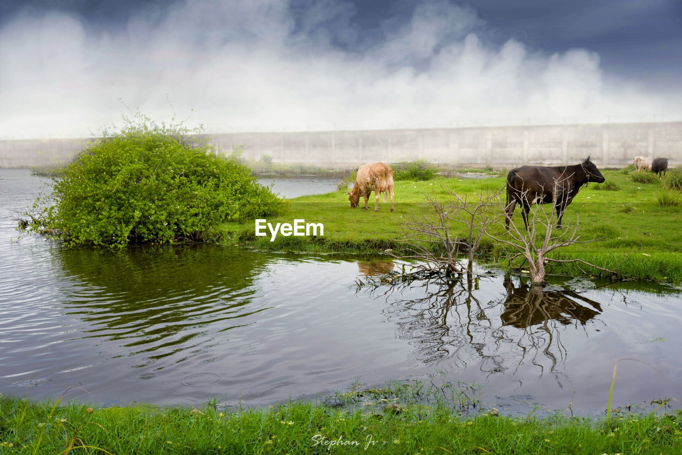 Cows on field by lake against cloudy sky