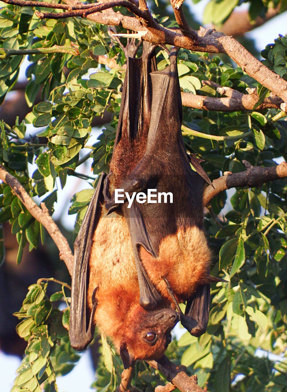 tree, hanging, animals in the wild, mammal, animal themes, outdoors, branch, day, leaf, no people, animal wildlife, nature, bat - animal, one animal, close-up
