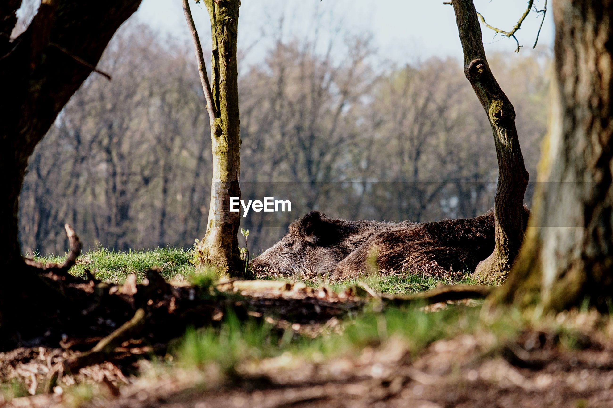 View of wild boar sleeping in the grass